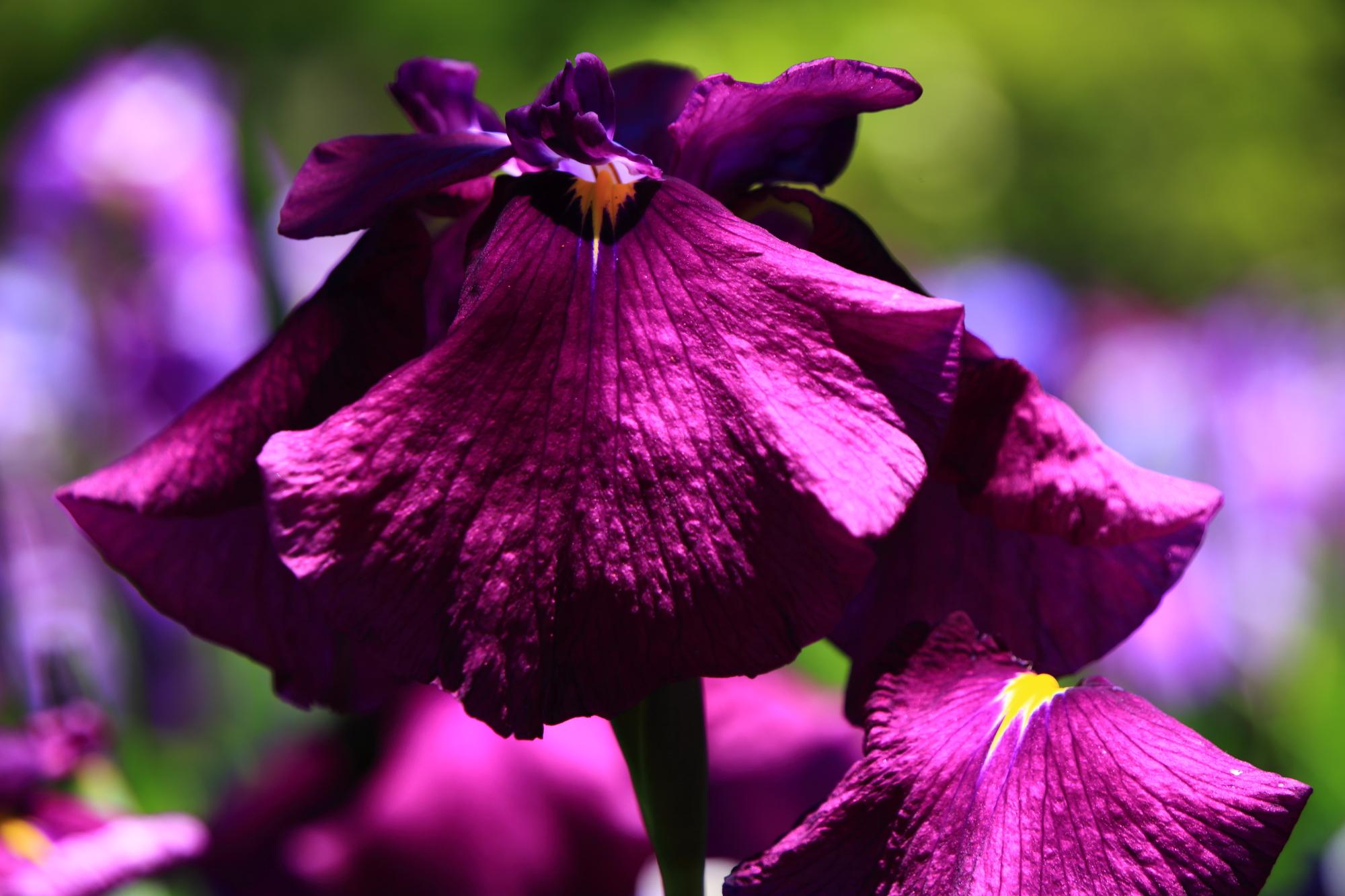 インパクトの強い濃い紫の花菖蒲
