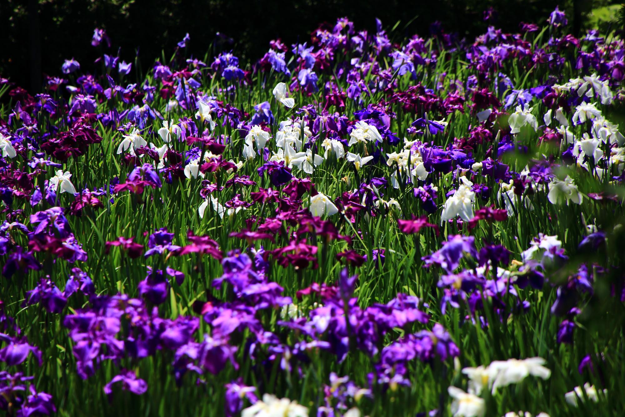 梅宮大社の素晴らしい花菖蒲や睡蓮や紫陽花