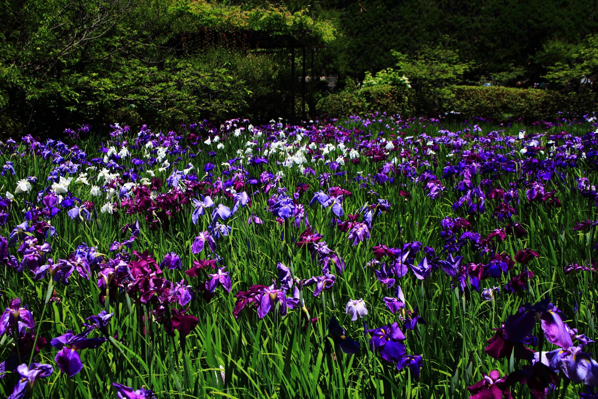 弾けんばかりに咲き乱れる梅宮大社の色とりどりの花菖蒲