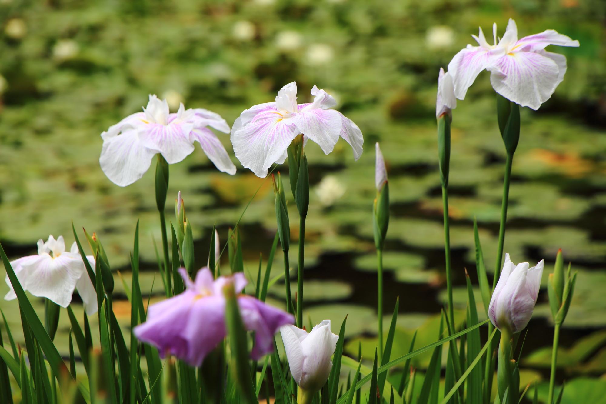 勧修寺の水辺を華やぐ可愛い花菖蒲
