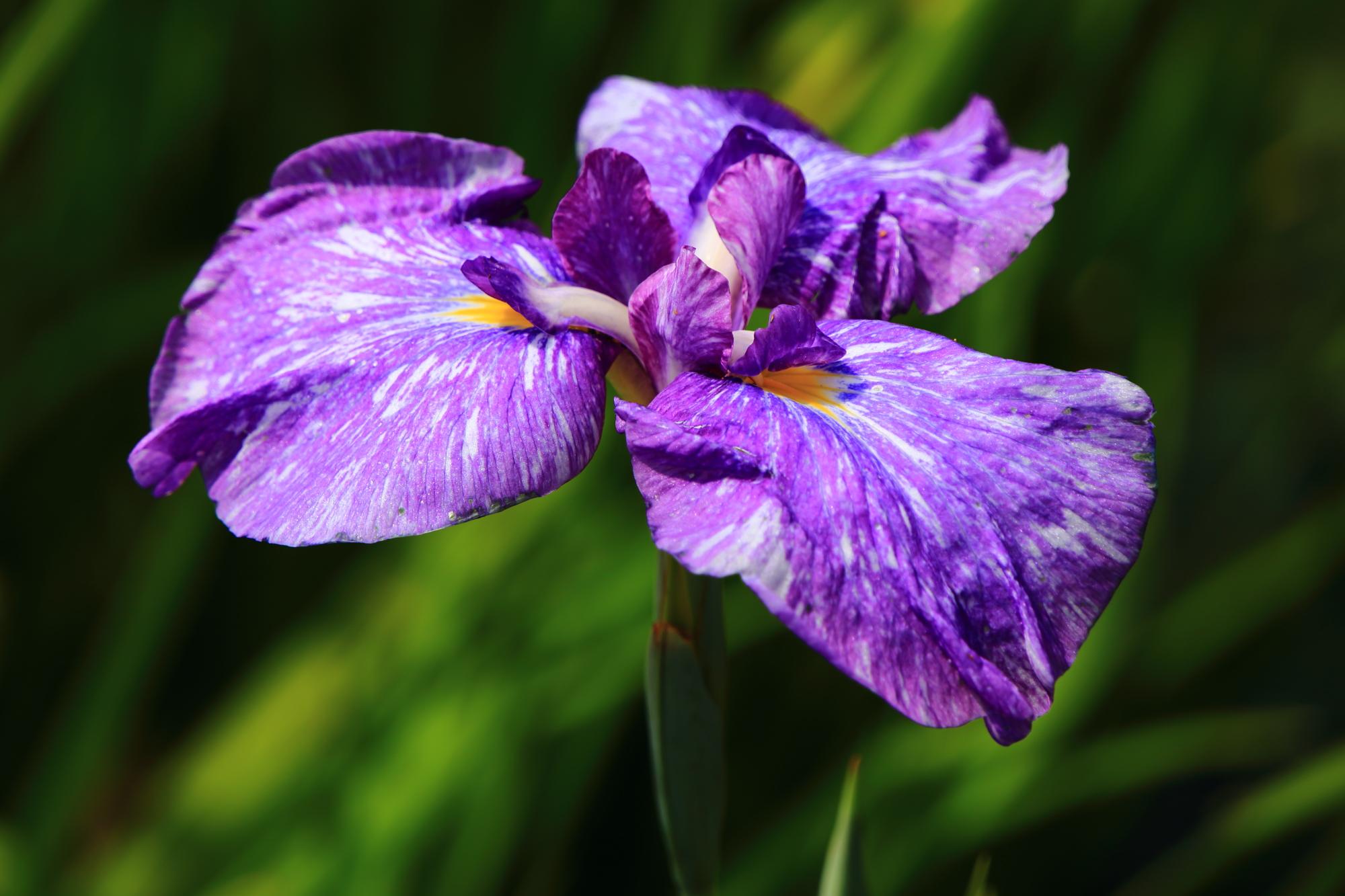 鮮やかな濃い紫色の花菖蒲