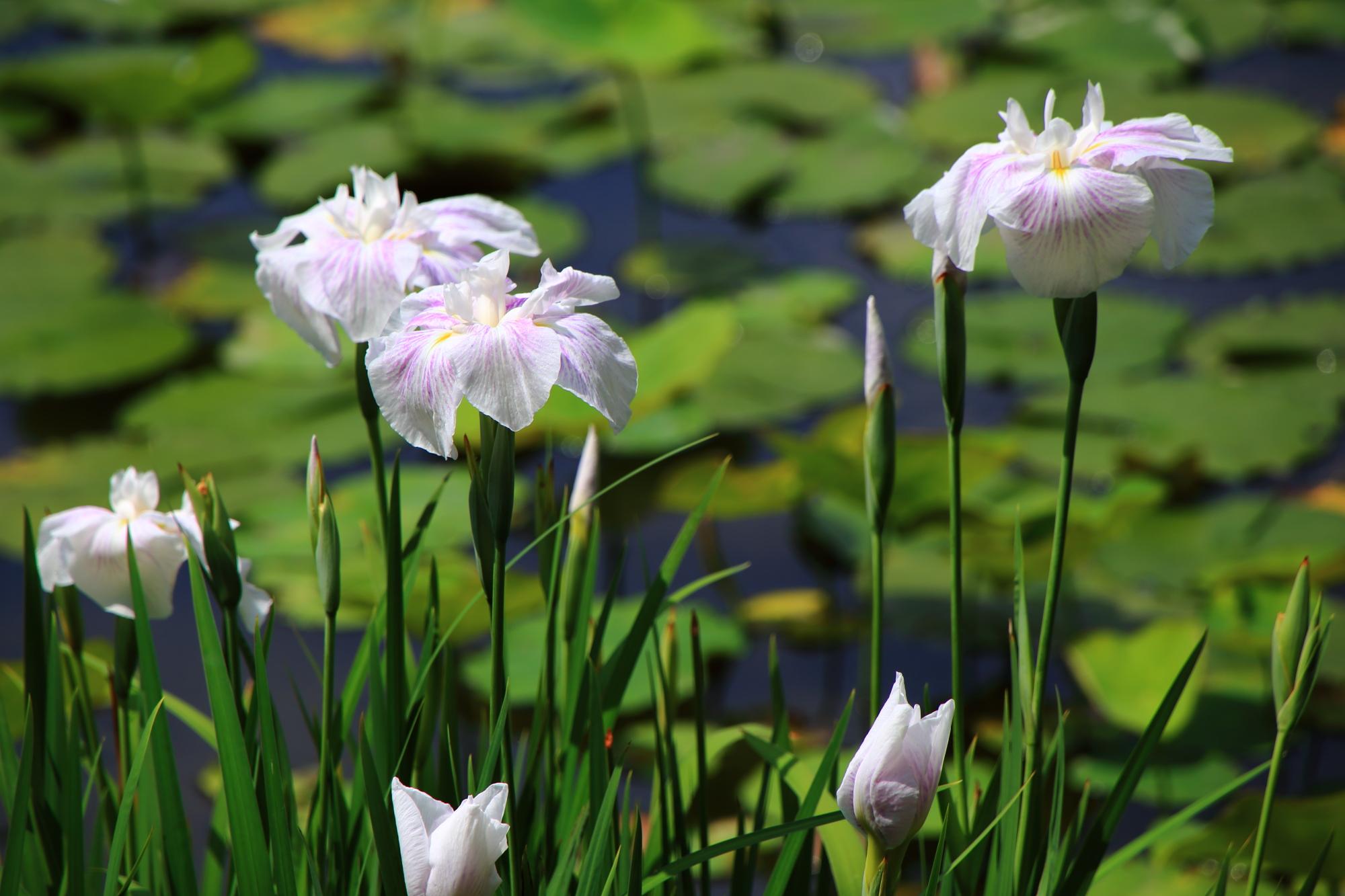 少し薄い紫色が入った爽やかな白い花菖蒲