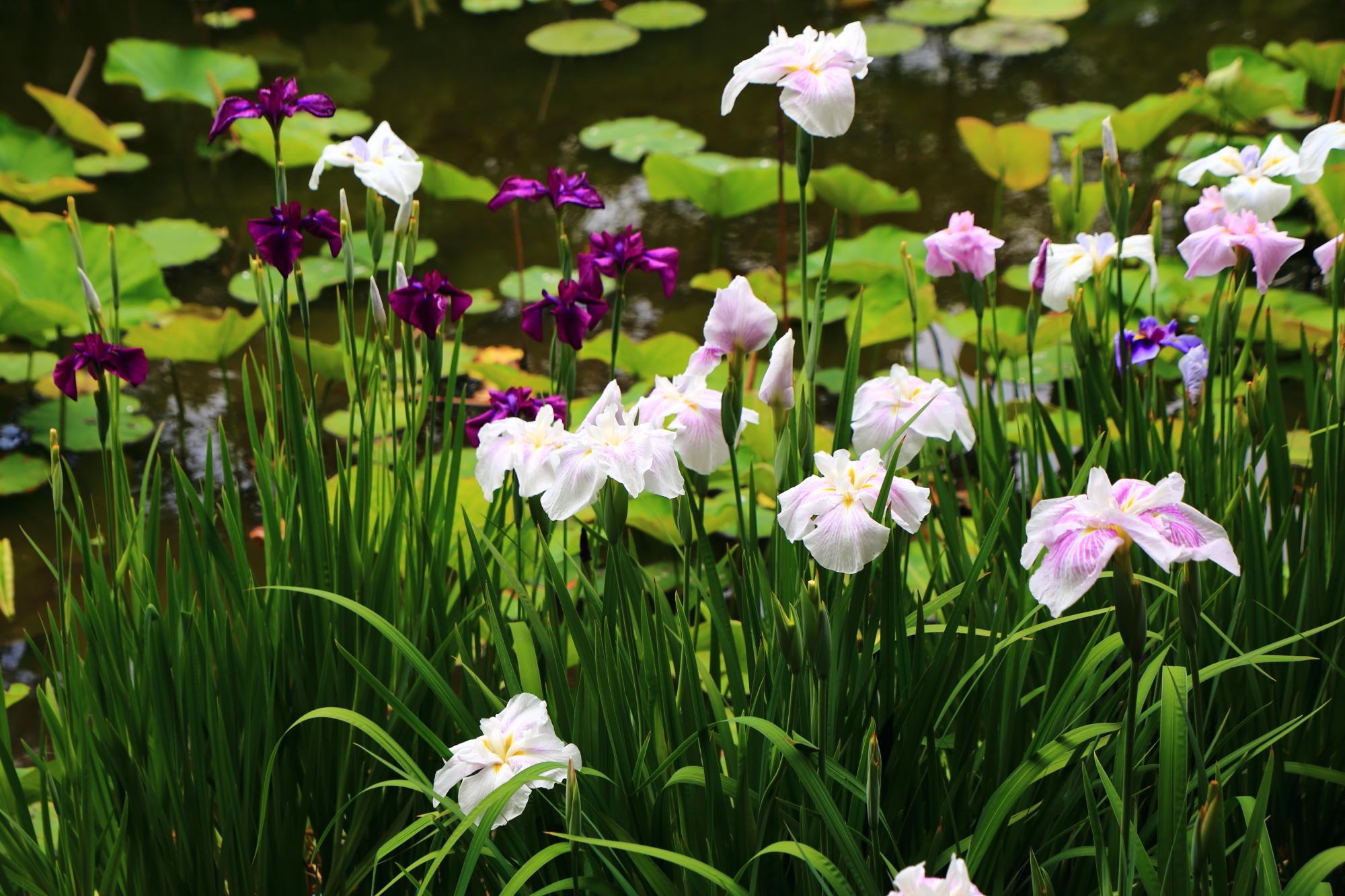 色とりどりの花菖蒲につつまれる初夏の氷室池