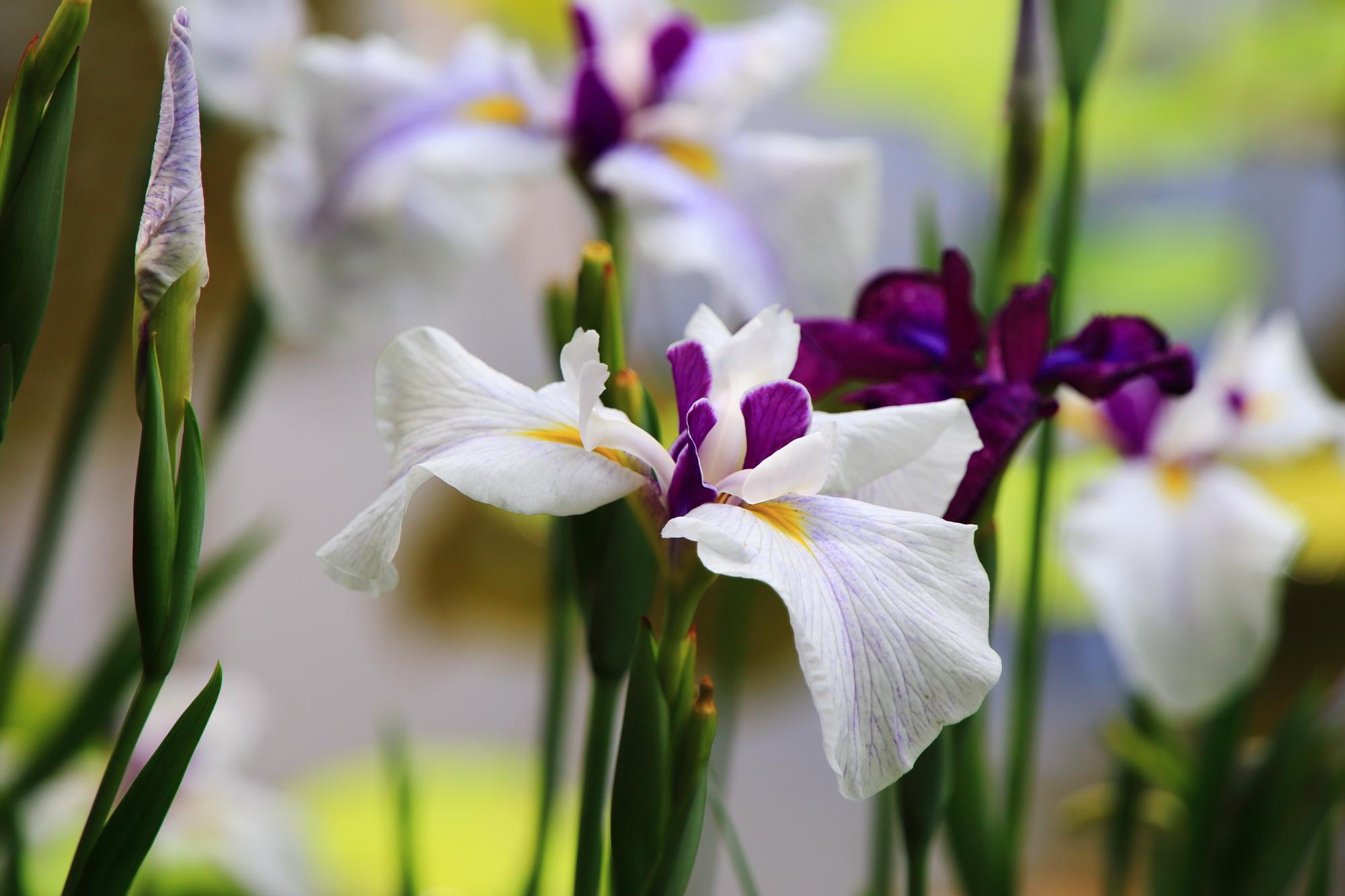 濃い紫と白色の混ざった不思議な色合いの花菖蒲