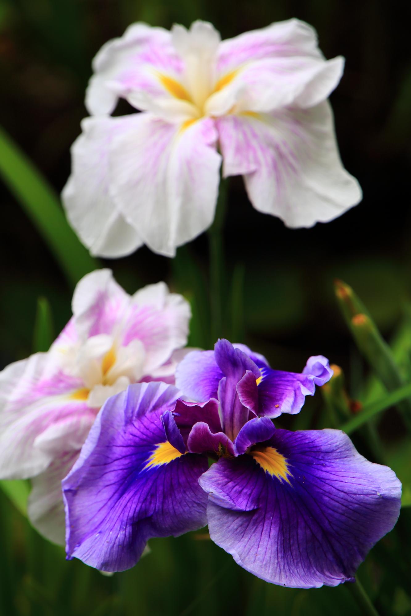 溢れんばかりに咲き誇る自然の芸術作品の花菖蒲