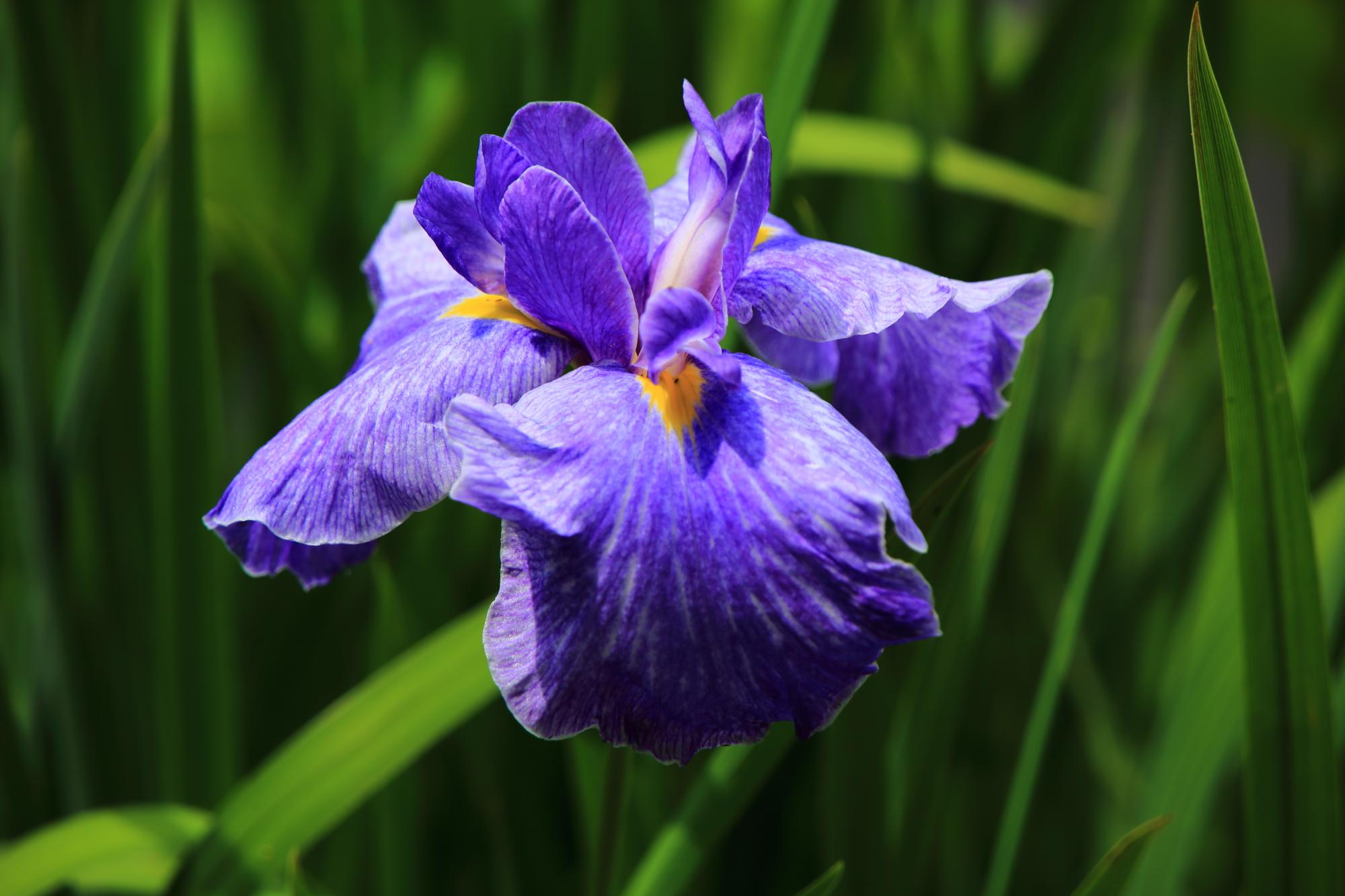 鮮やかで妖艶な色合いの花菖蒲