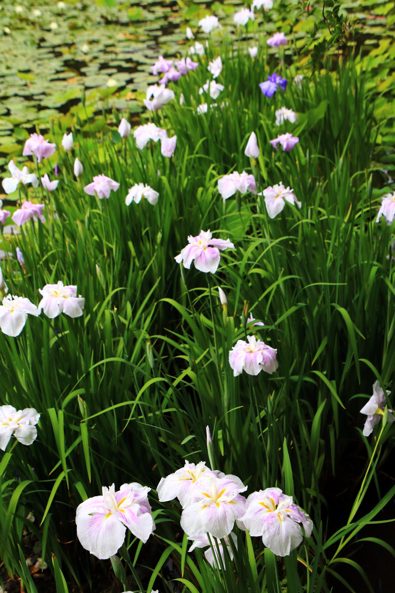 京都山科の花菖蒲の名所の勧修寺