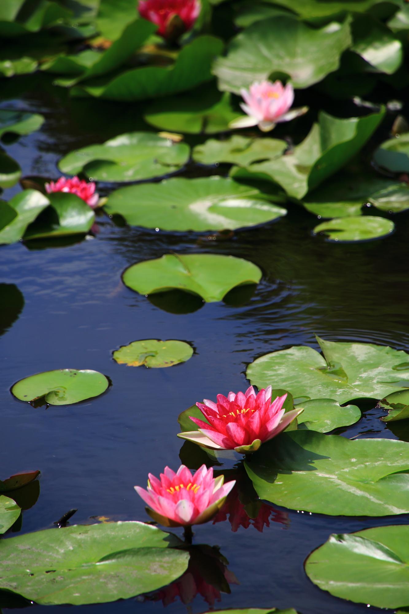 緑の葉っぱがあってこそ美しい睡蓮の花