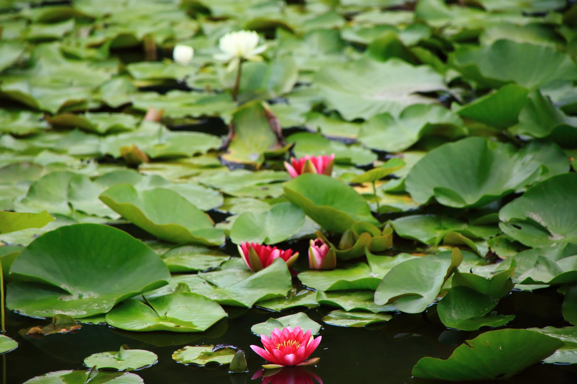勧修寺の氷室池に同じ時期に咲く睡蓮(すいれん)