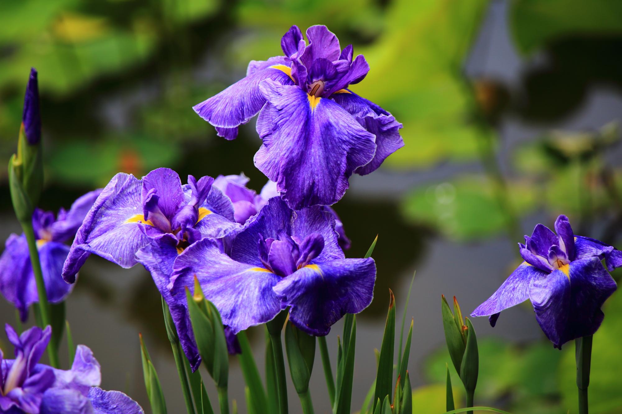 勧修寺の鮮やかな紫に黄色が入った花菖蒲