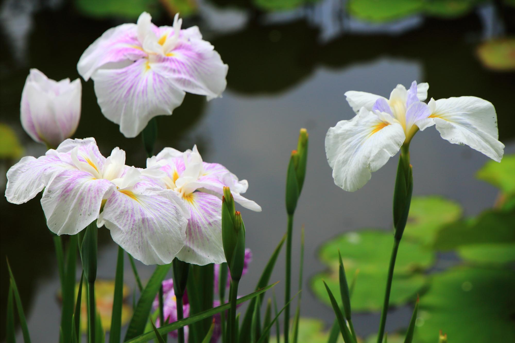優美に水辺を華やぐ花菖蒲