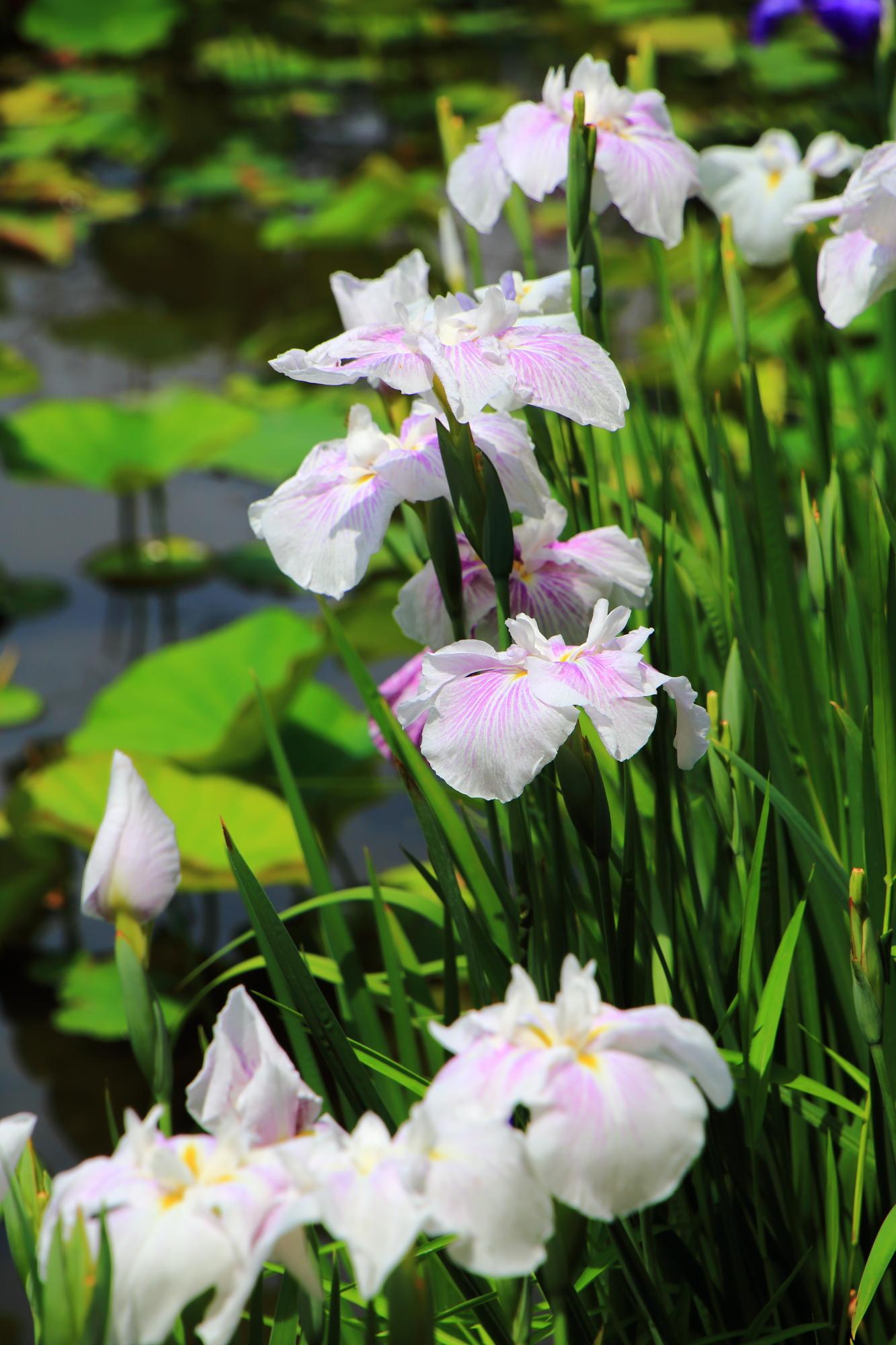 たくさんの花菖蒲で溢れる氷室池