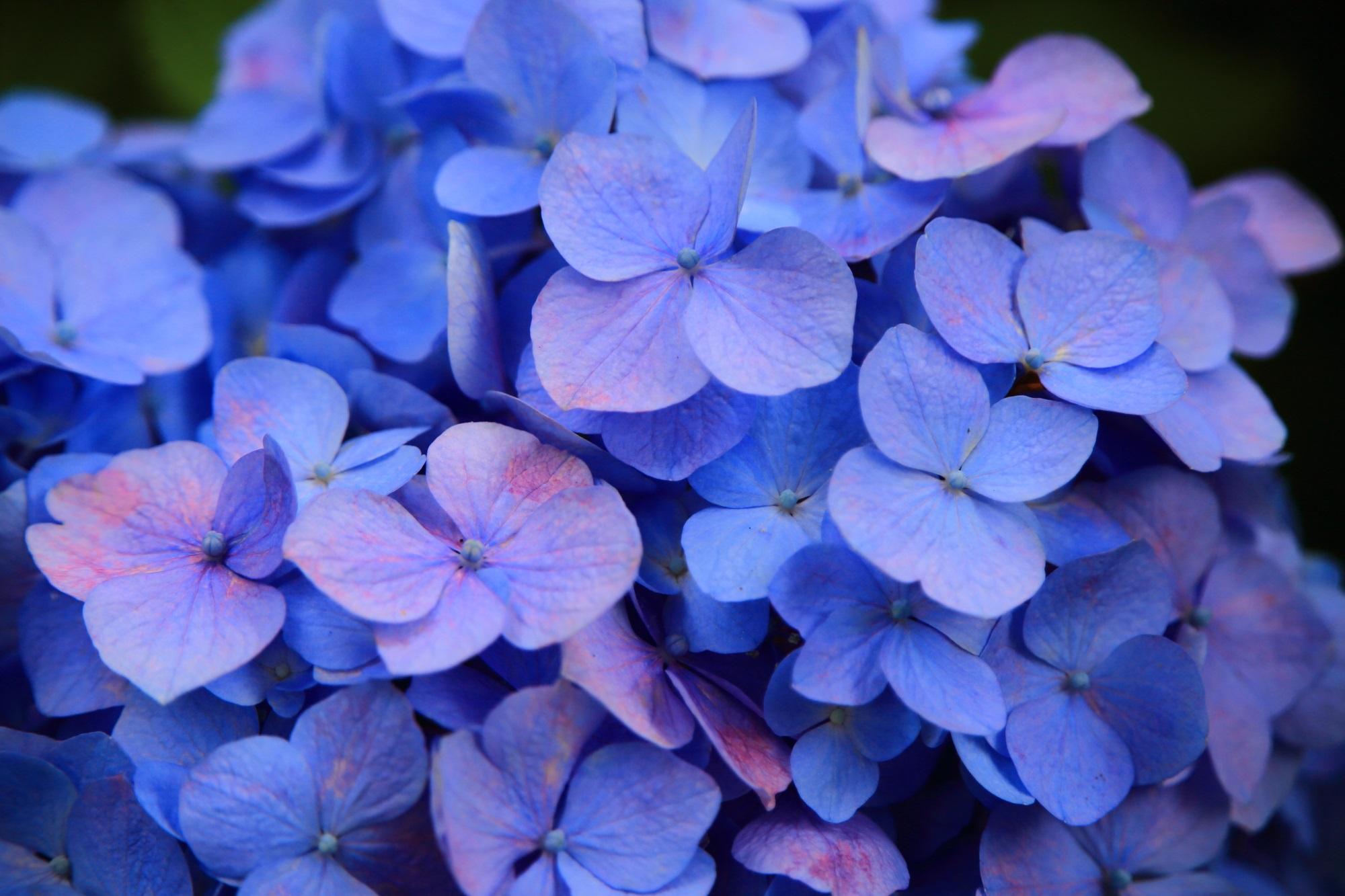 花びら一枚一枚が微妙に色合いが異なる三室戸寺のアジサイ