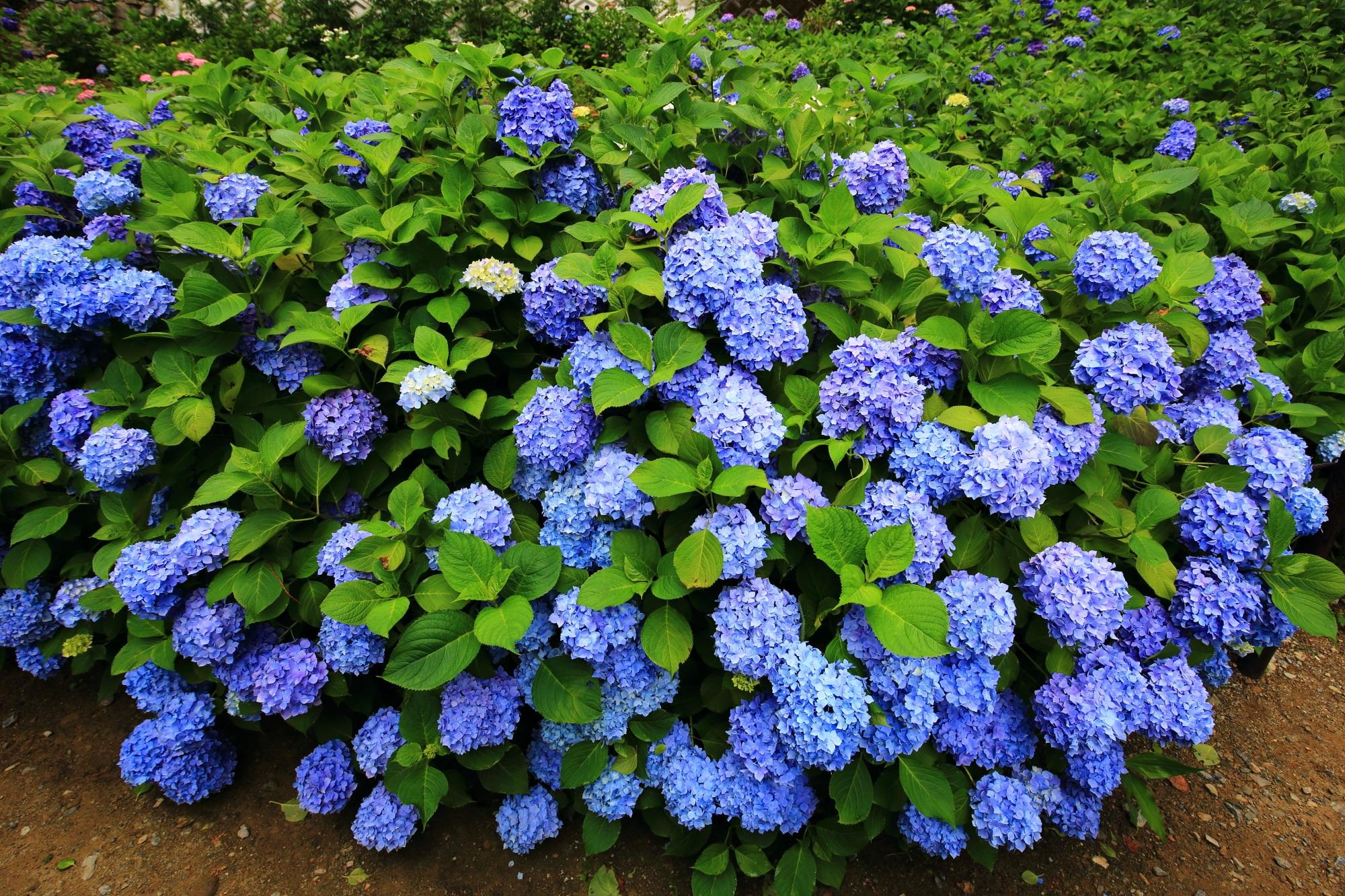 三室戸寺の弾けんばかりに豪快に咲き乱れる紫陽花