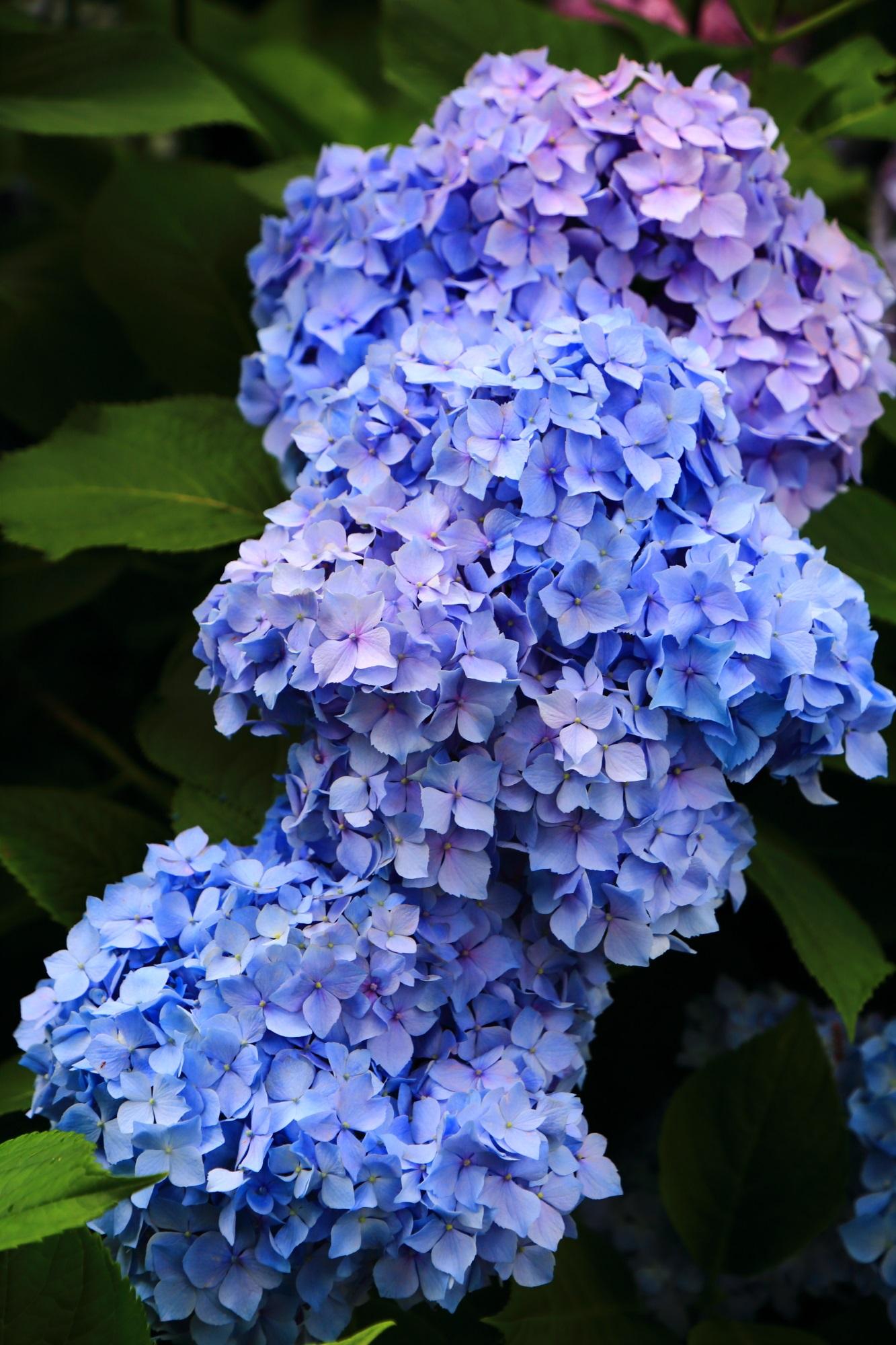 満開の紫陽花につつまれる宇治の紫陽花の名所の三室戸寺