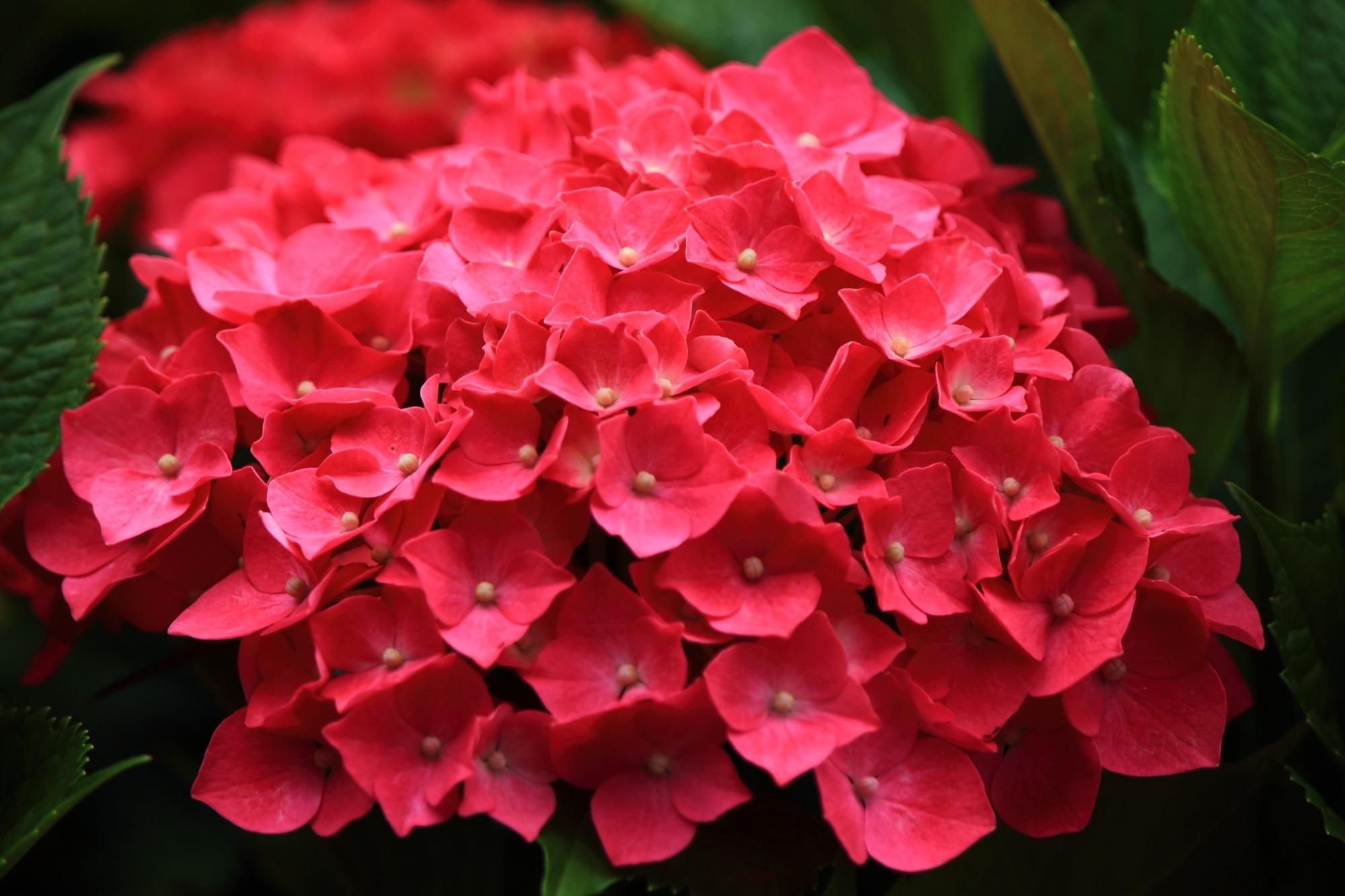 三室戸寺の鮮烈な色合いの濃いピンクの紫陽花