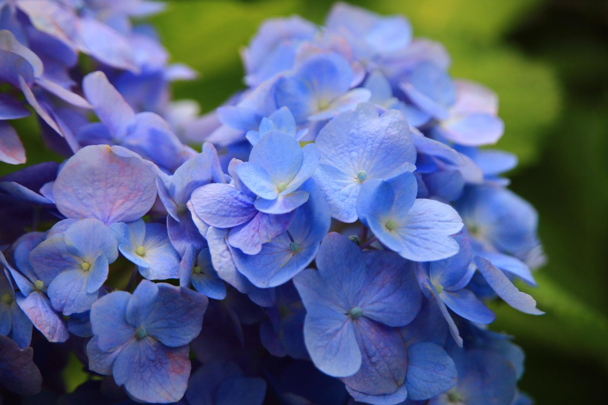 三室戸寺の淡く優しい色合いの青系の紫陽花