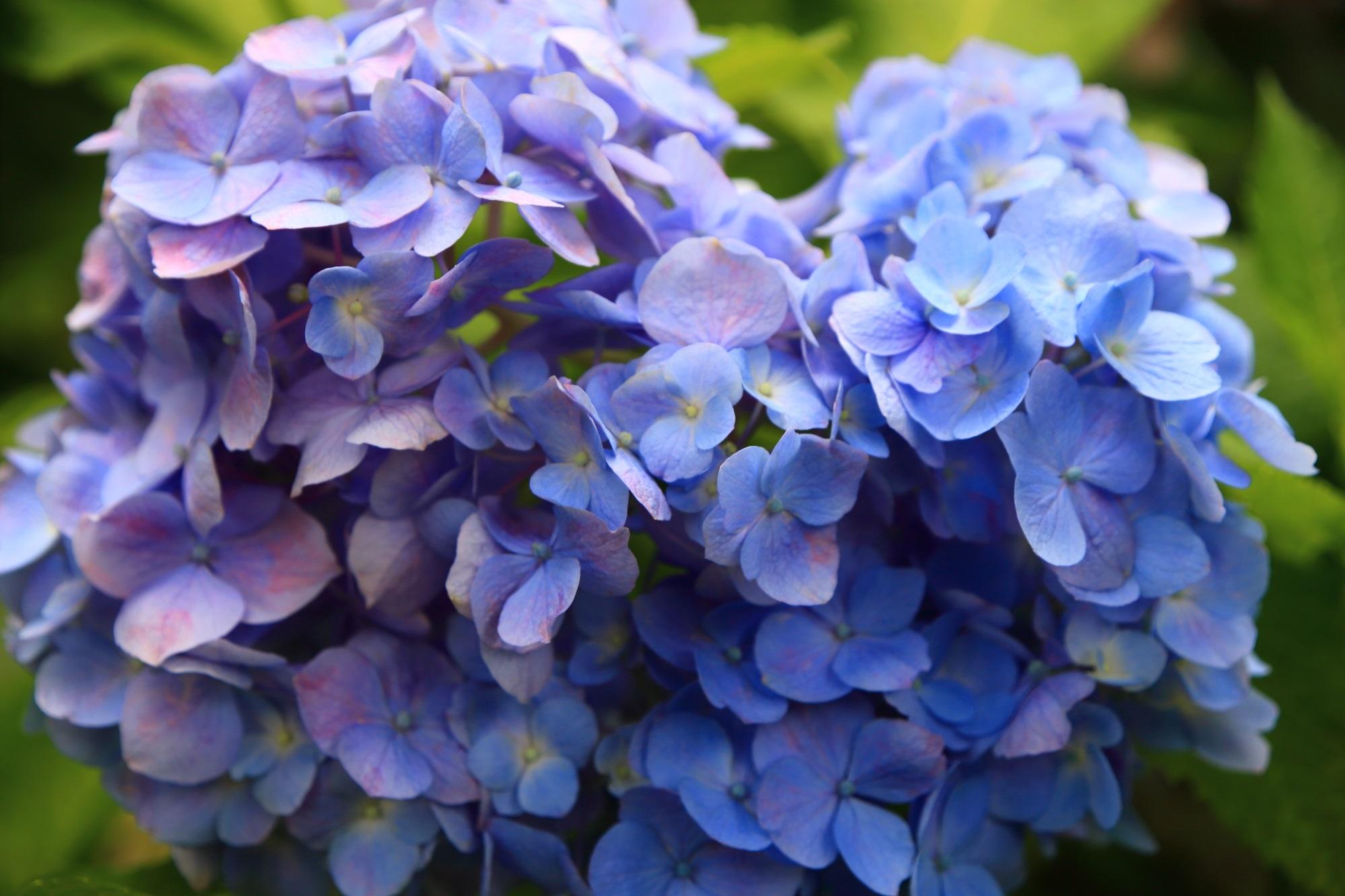 三室戸寺のハートになり切れなかった青と紫の2色の紫陽花