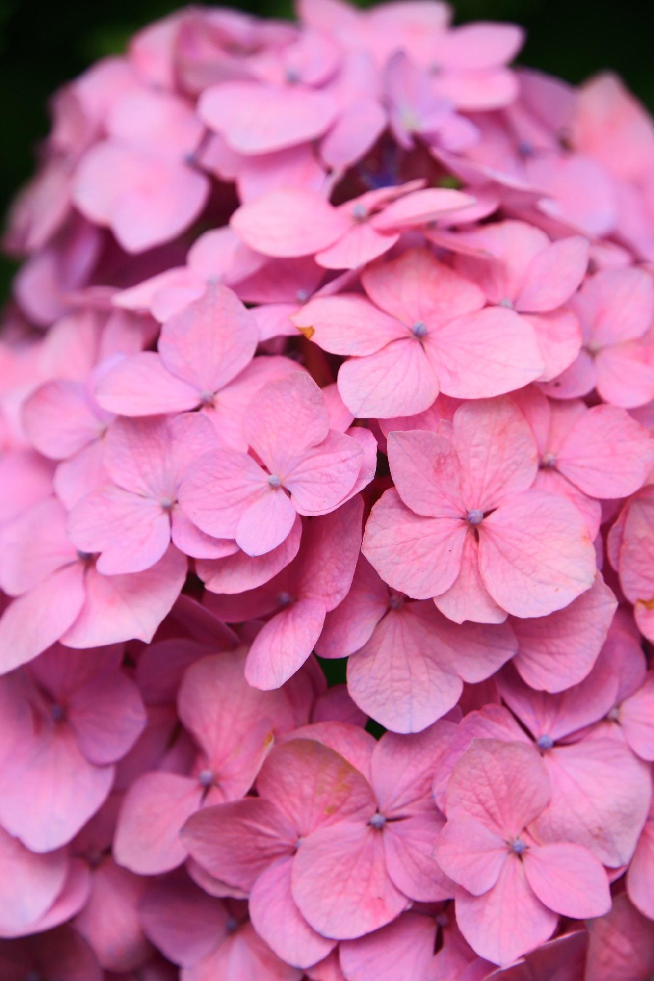 三室戸寺のあじさいの幻想的なピンクの彩り