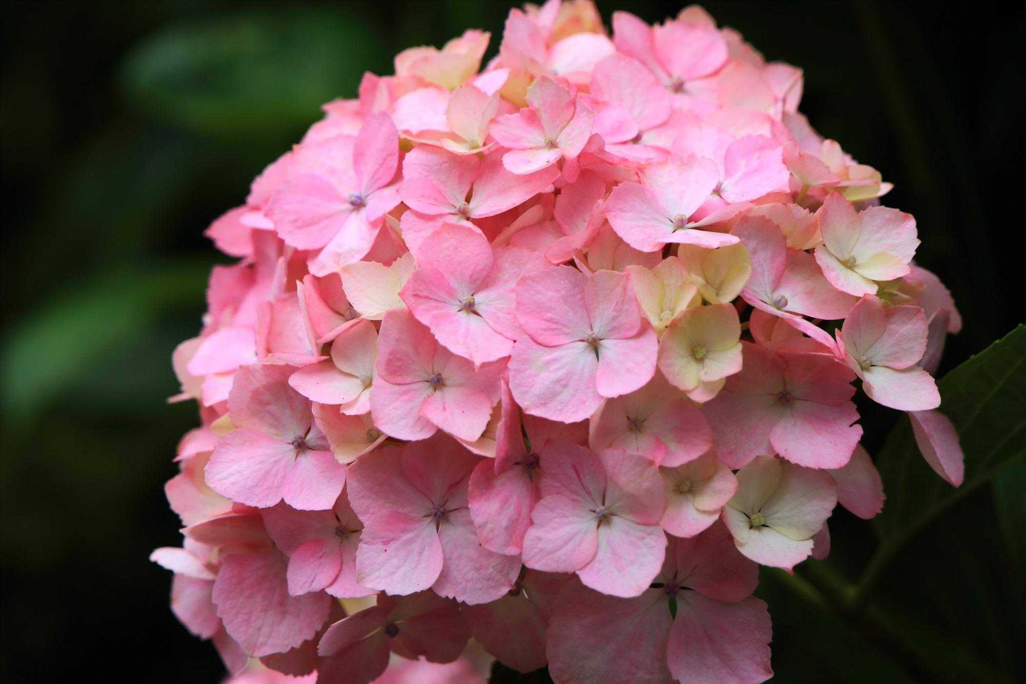 華やかで幻想的なピンクが最高の三室戸寺の紫陽花