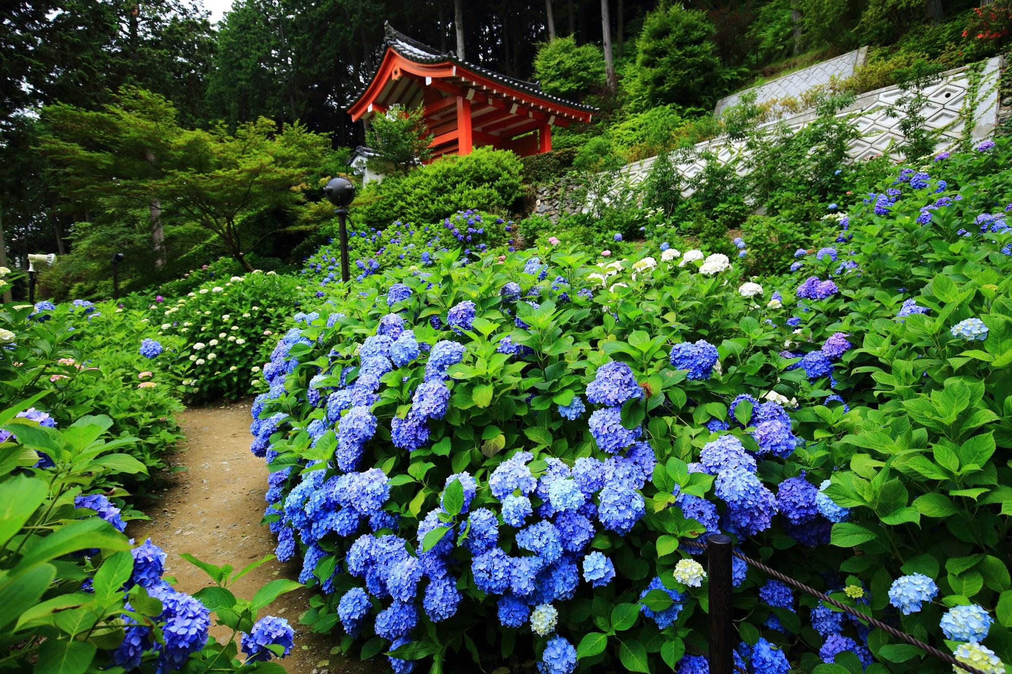 三室戸寺の山門を背景にした絵になる見事な紫陽花の風景