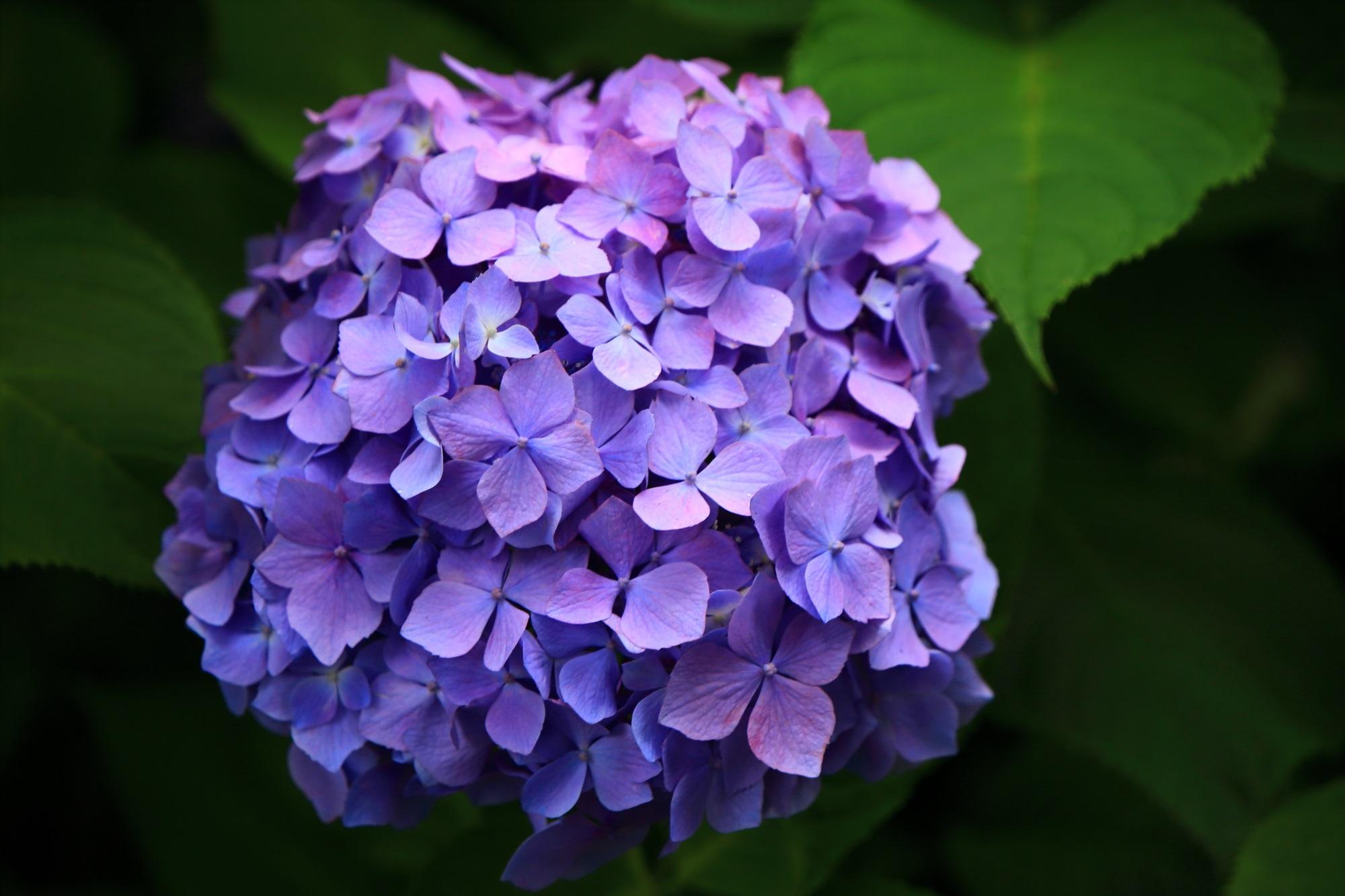 三室戸寺の妖艶で華やかな紫の紫陽花