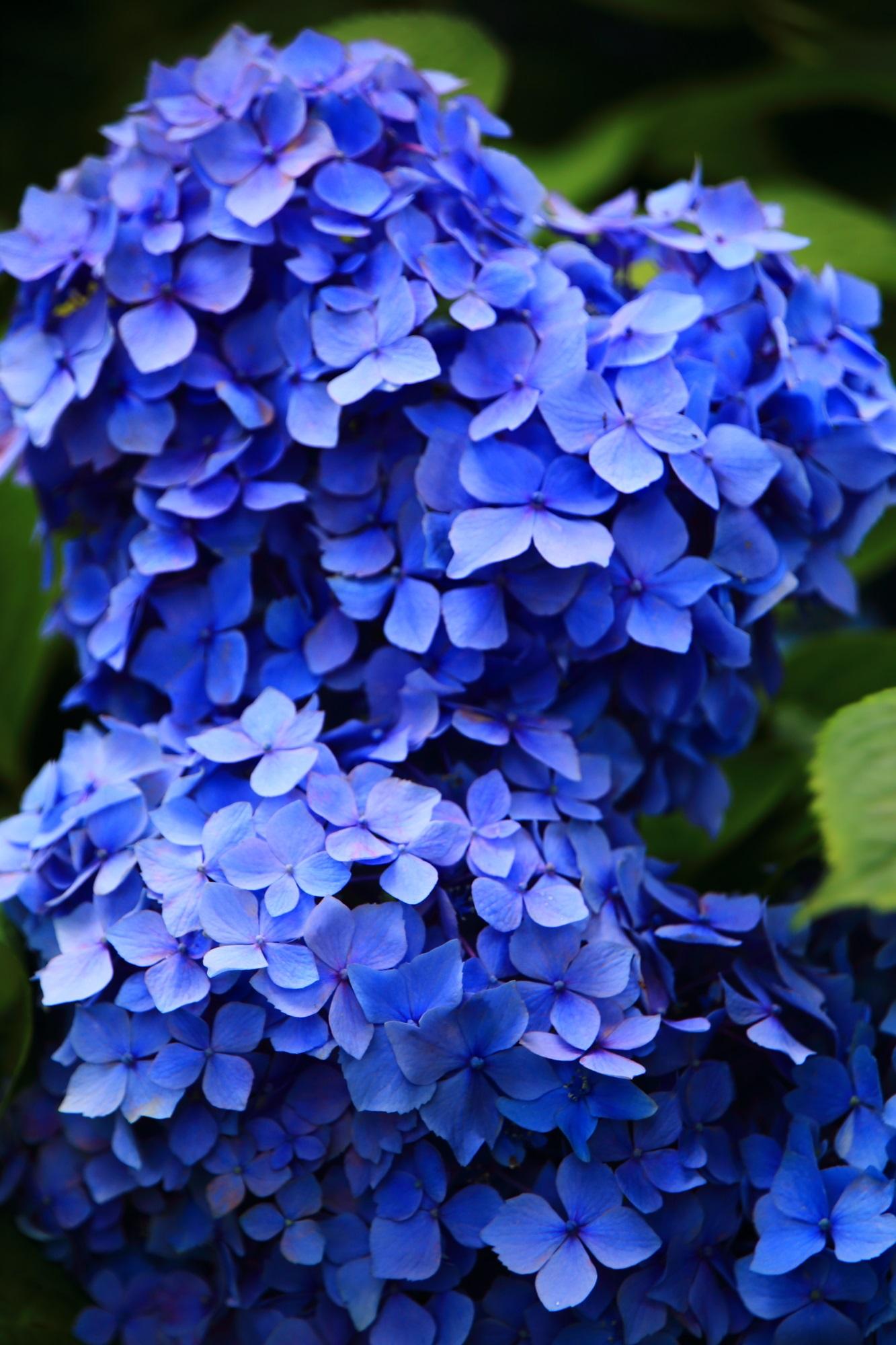 三室戸寺の花びらが溢れ出す絶品の紫陽花