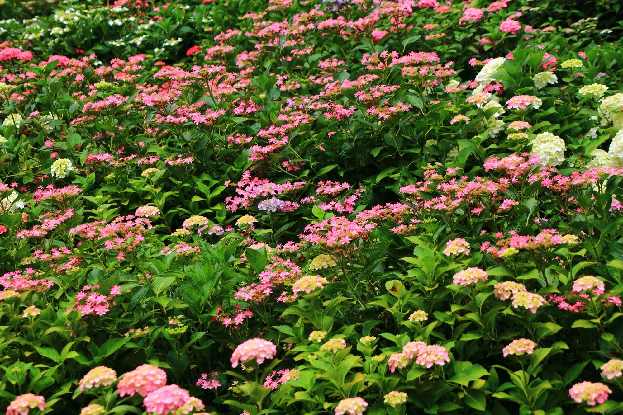 三室戸寺のつつじ園入口付近の煌びやかな紫陽花