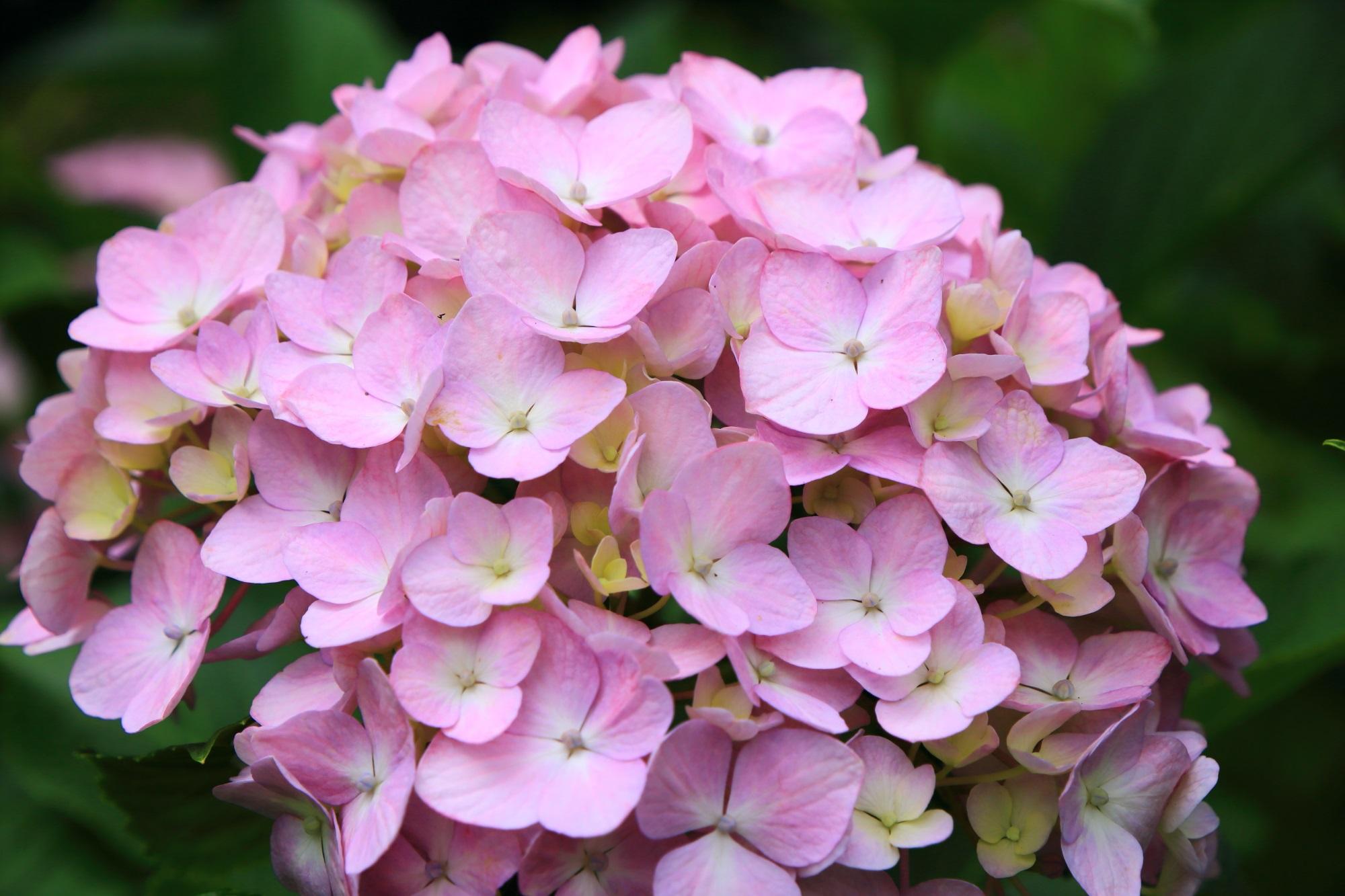 初夏の三室戸寺を華やぐ可愛いピンクの紫陽花