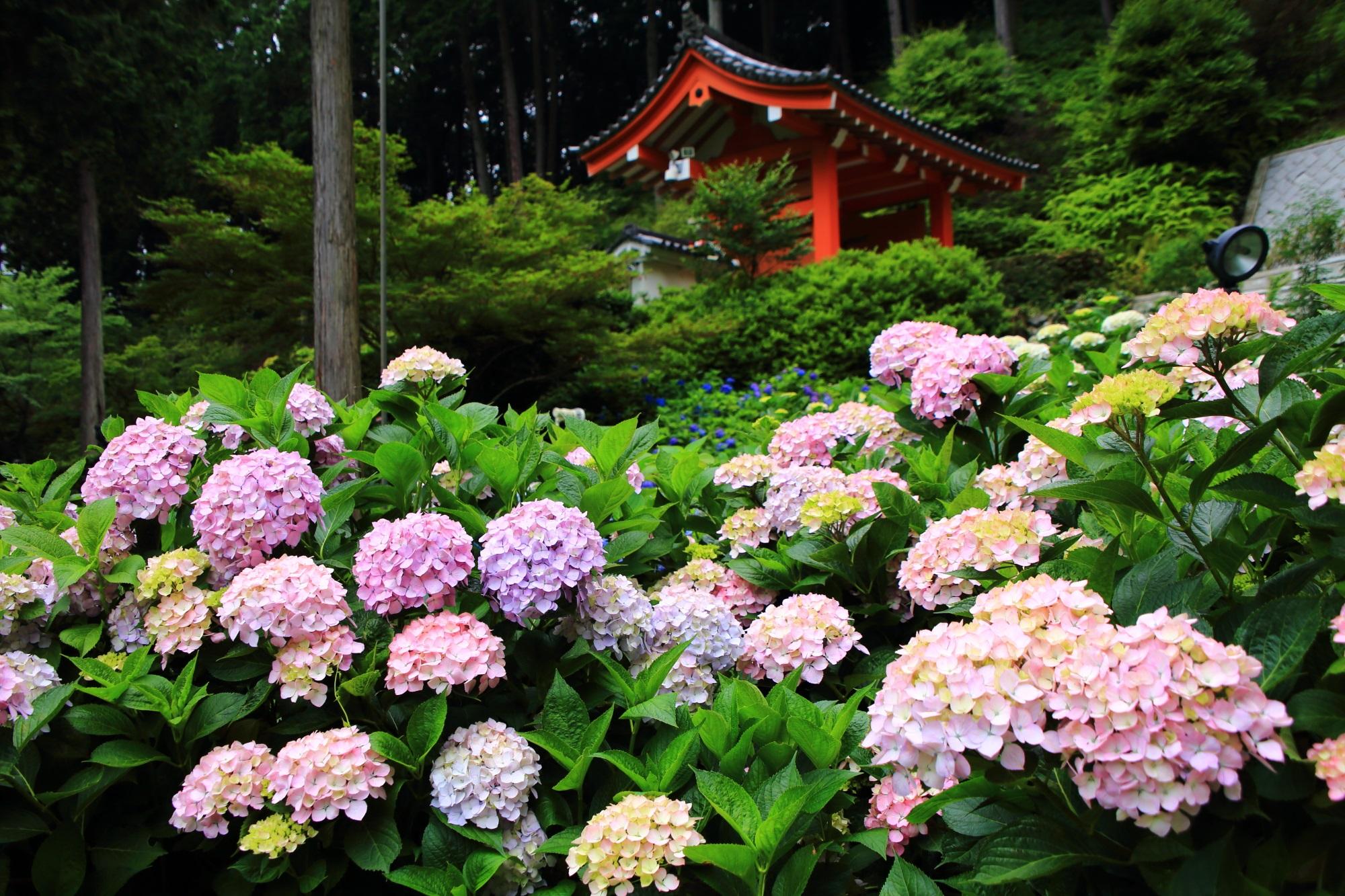 溢れ出す華やかなピンクの紫陽花にそまる三室戸寺の朱色の山門