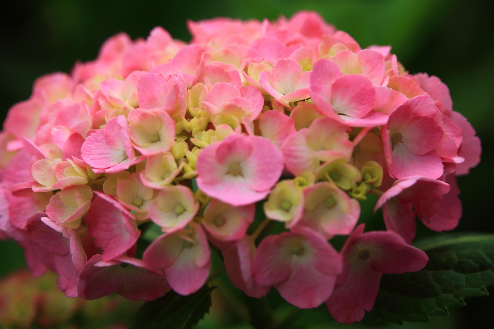 三室戸寺の元気が出そうなピンクの華やかな紫陽花