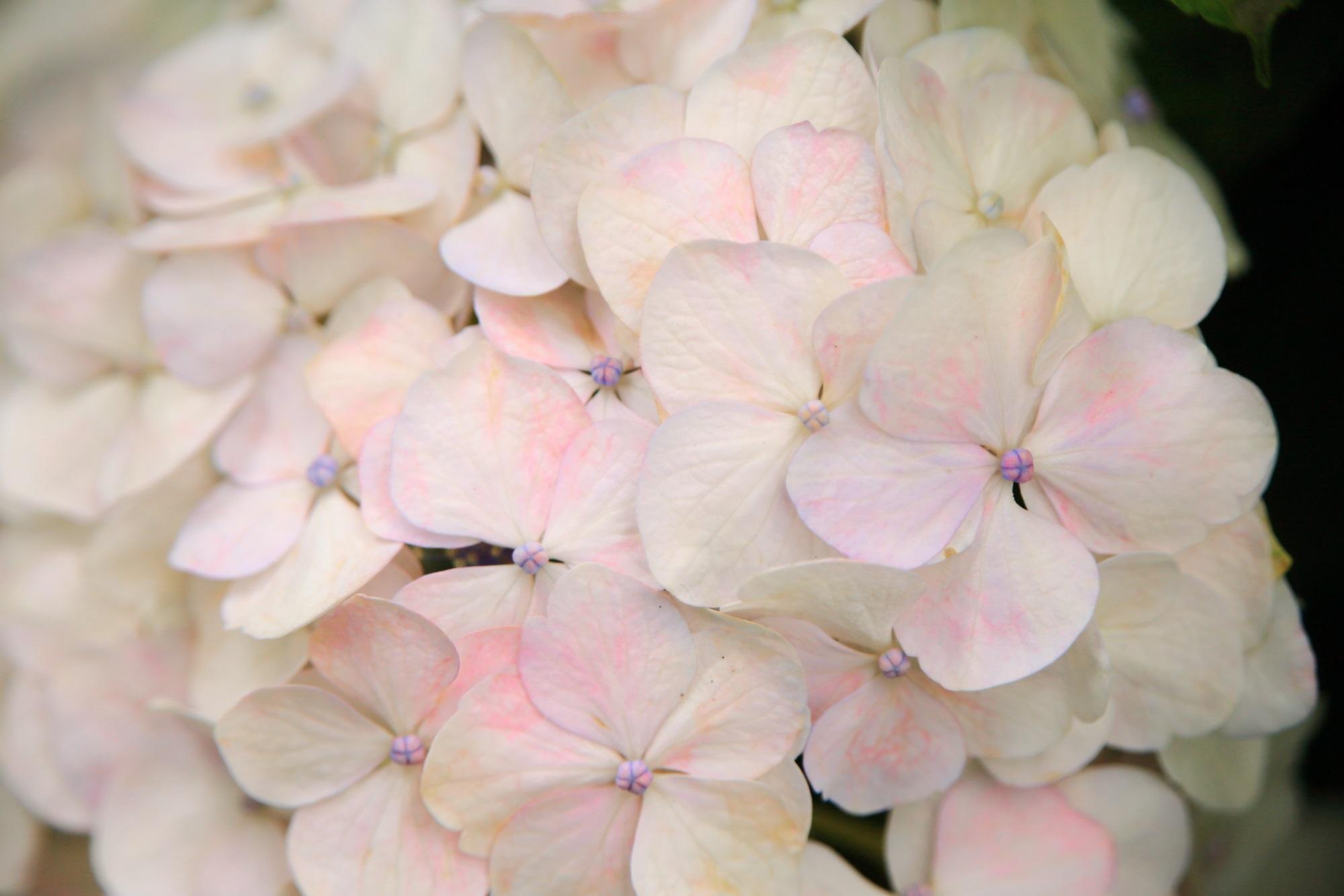 ほのかなピンクが白い花びらに彩りをそえる三室戸寺のあじさい