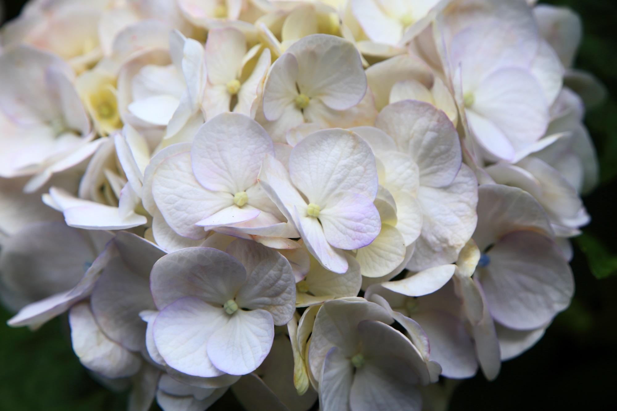 かすかに彩りが入った上品な白い紫陽花