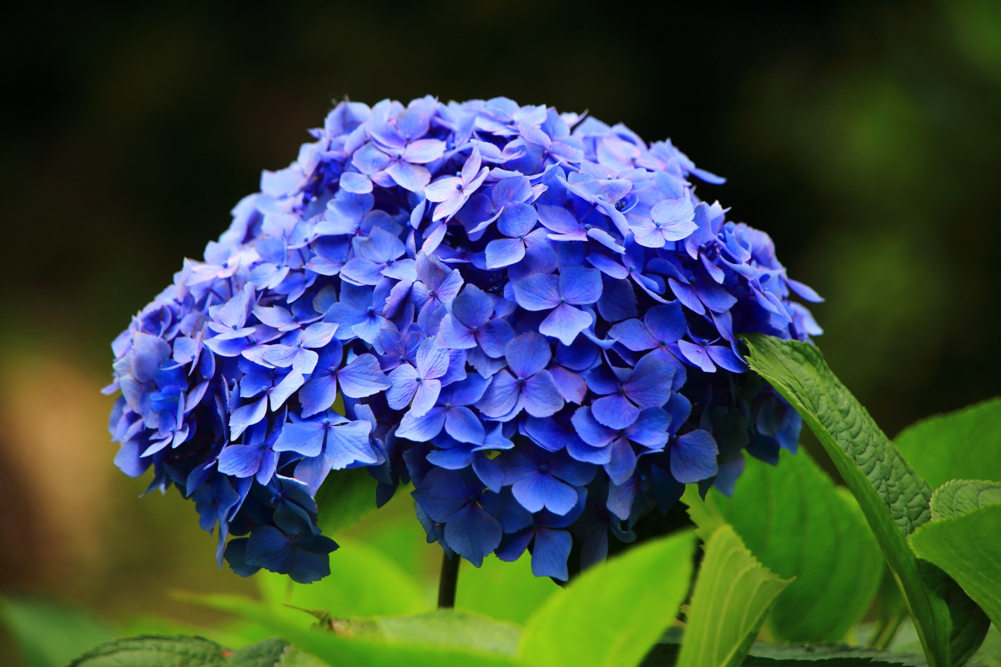 三室戸寺の優雅に咲く趣きある青系の紫陽花