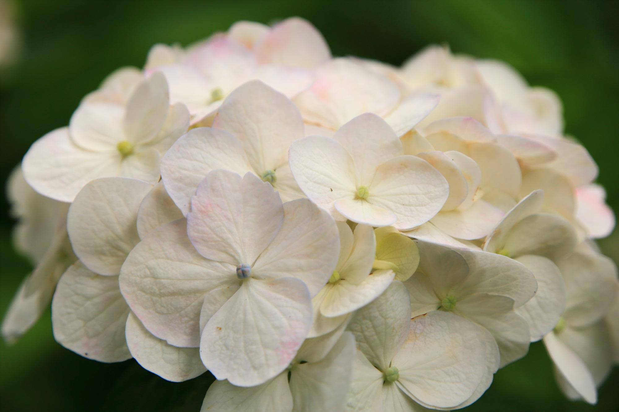 ところどころに薄っすらとピンクの入った不思議な白い紫陽花