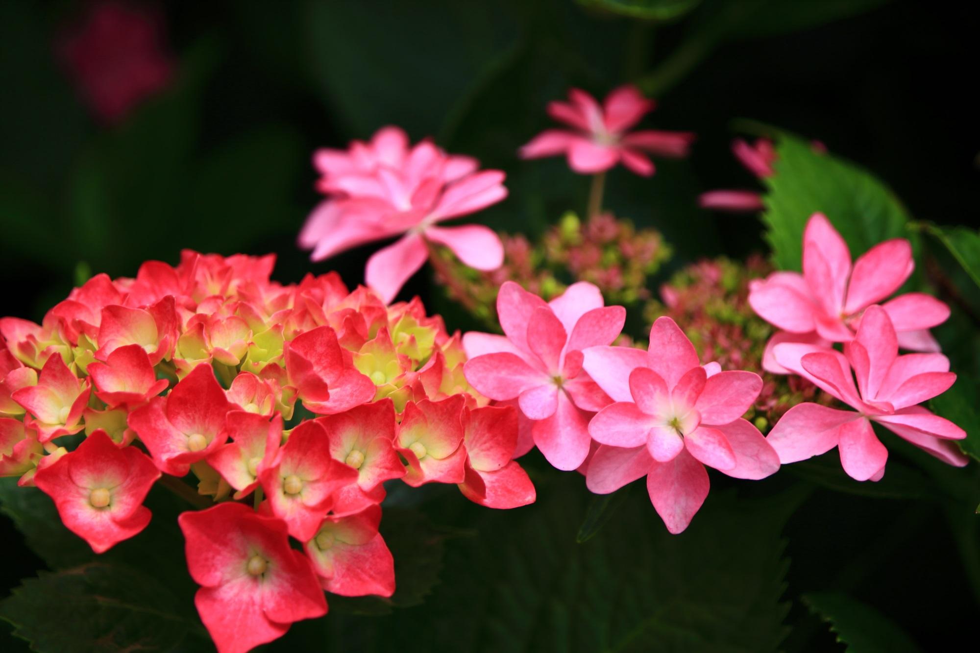 三室戸寺の2種類のピンクの紫陽花の華やかなコラボ
