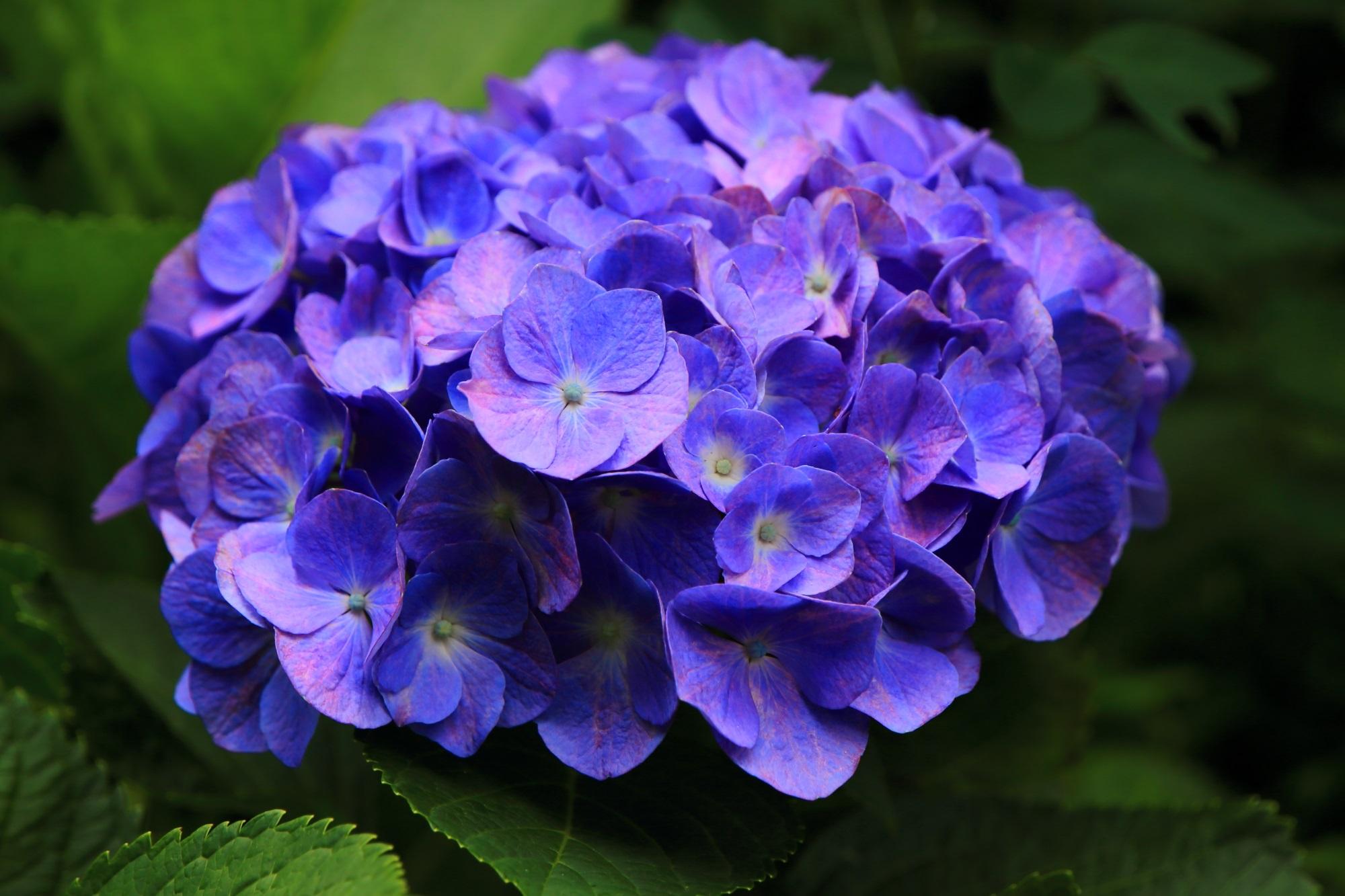 三室戸寺の入口の山門付近の艶やかな紫の紫陽花