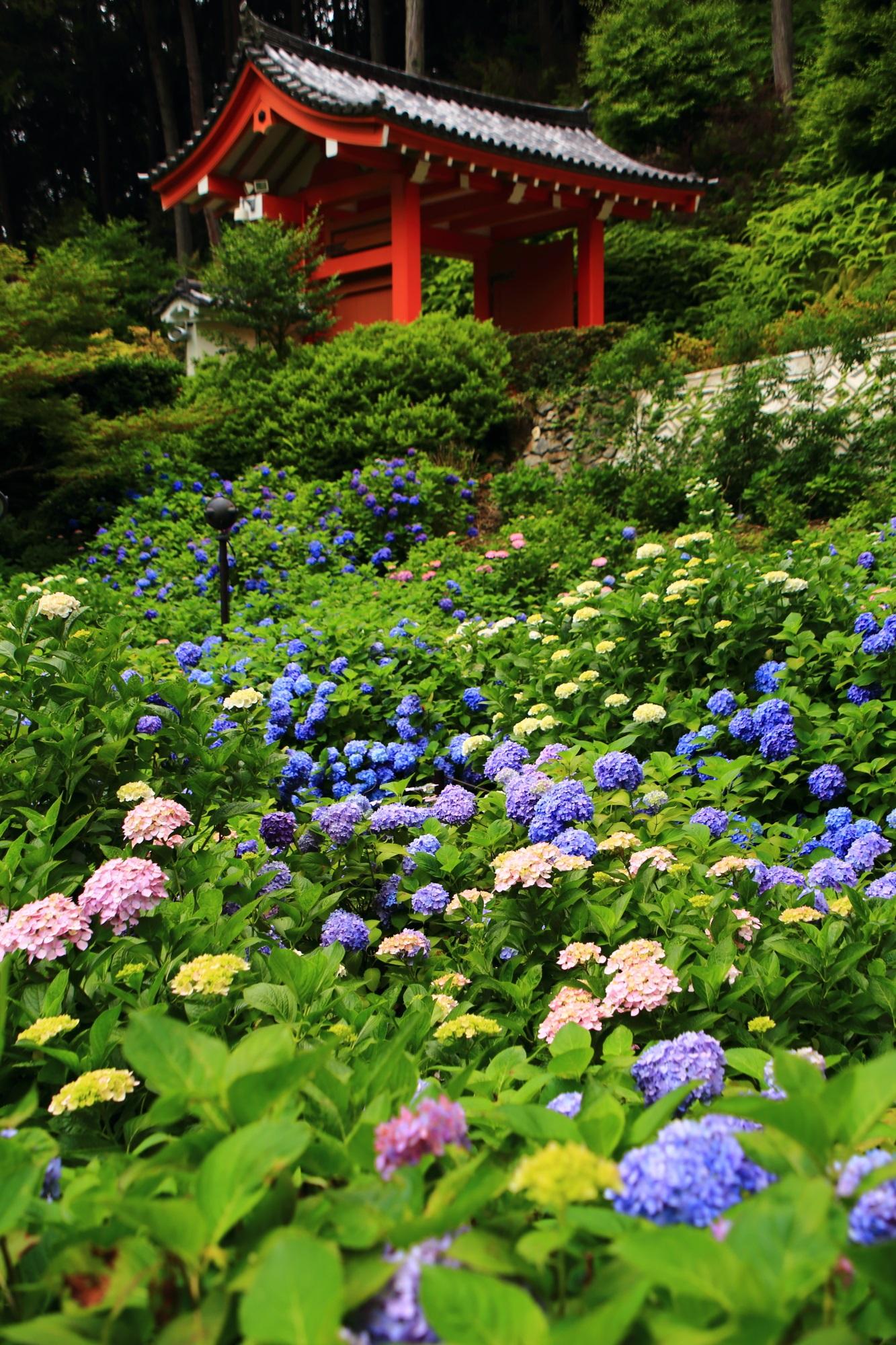 色とりどりの紫陽花につつまれる6月の三室戸寺