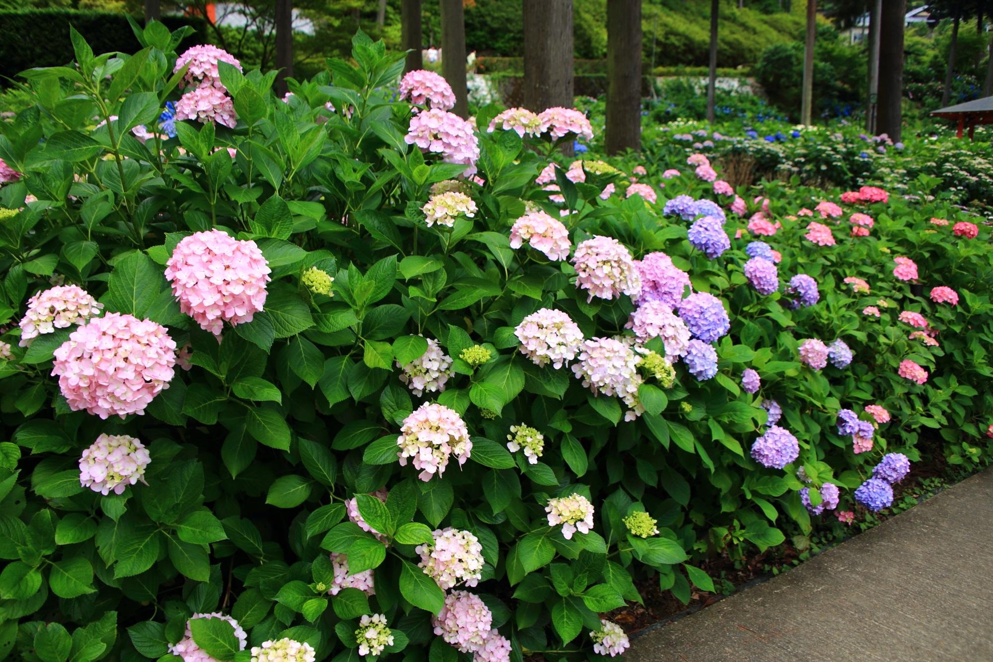 三室戸寺のあじさい園の出口付近の色とりどりの紫陽花
