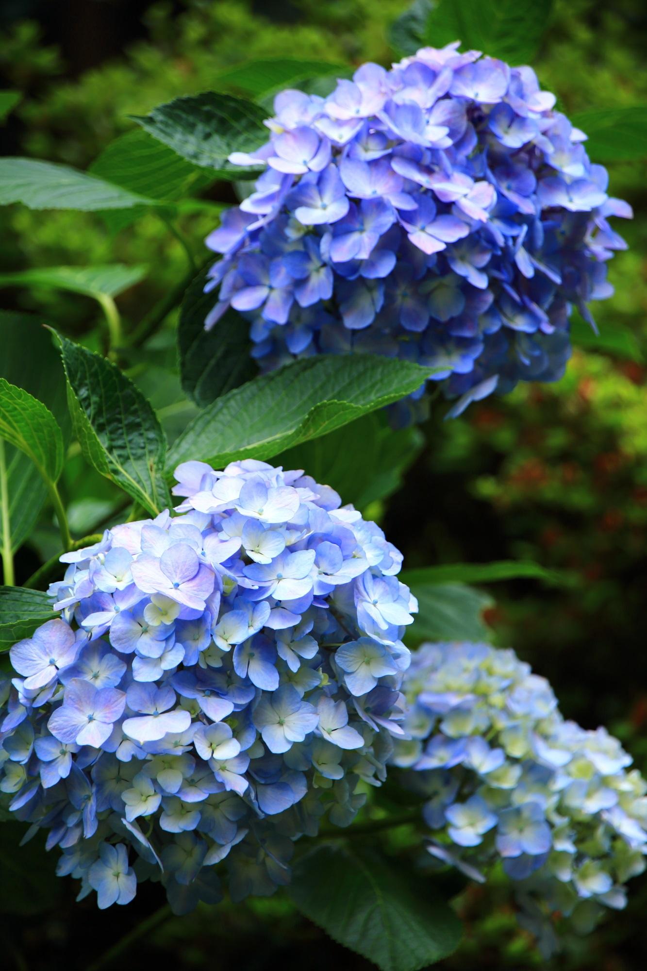 三室戸寺の優しげな淡い水色の紫陽花