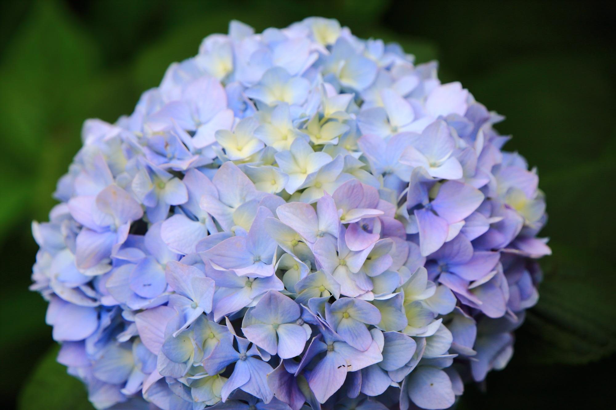 三室戸寺の絶妙な色合いの柔らかそうな紫陽花