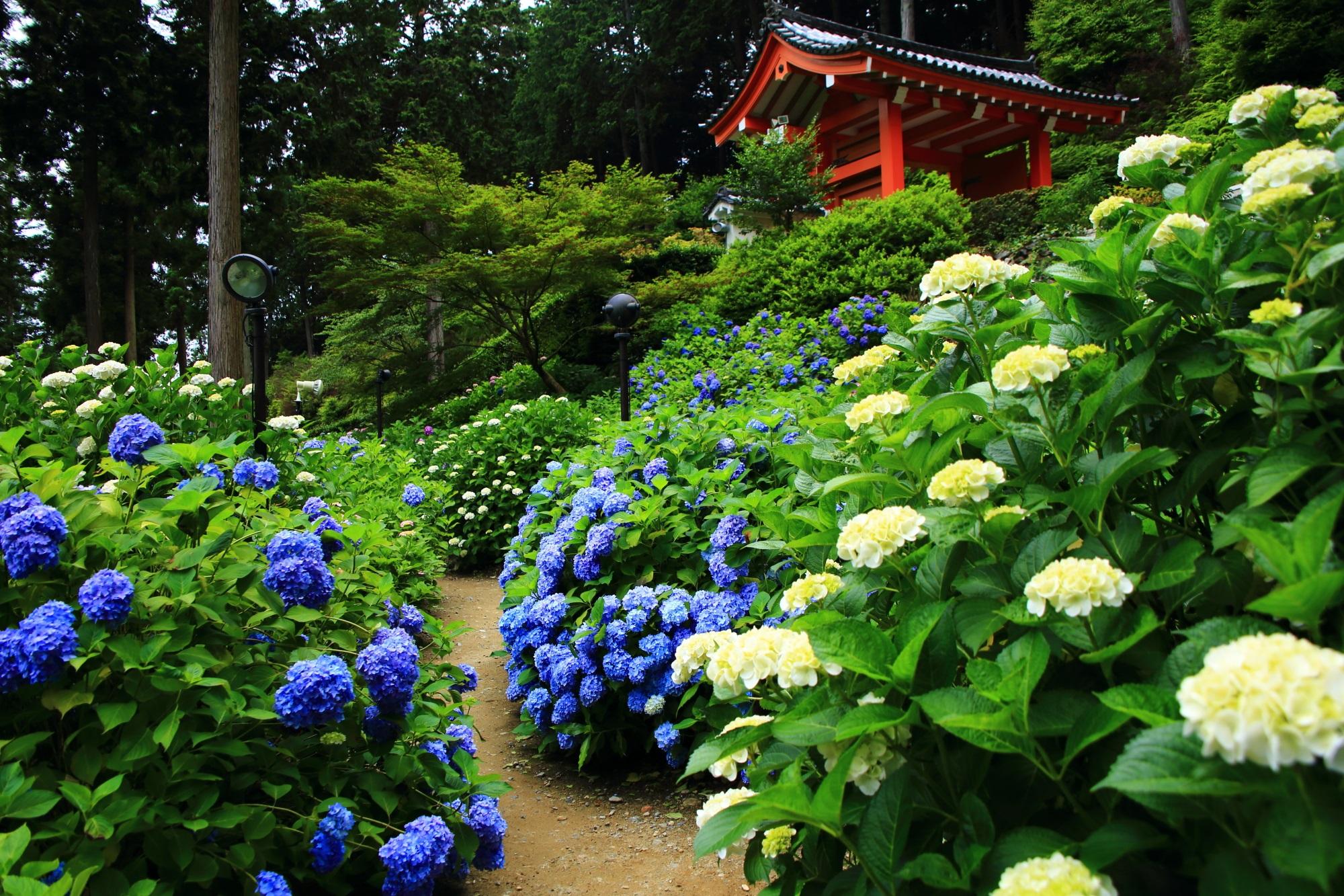 三室戸寺の山門の下で咲き誇る色とりどりの紫陽花