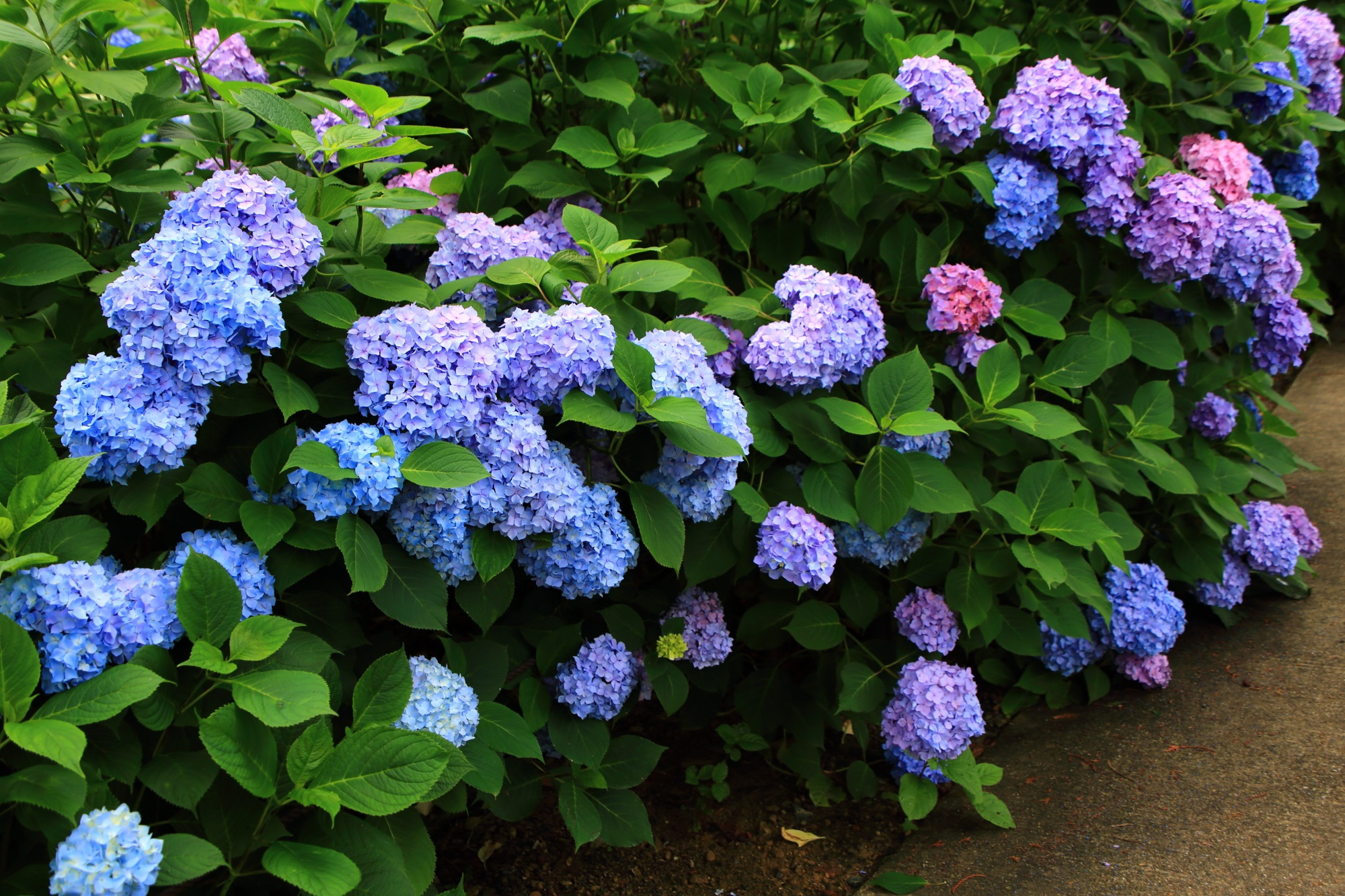 三室戸寺のあじさい園中央の休憩所付近の紫陽花