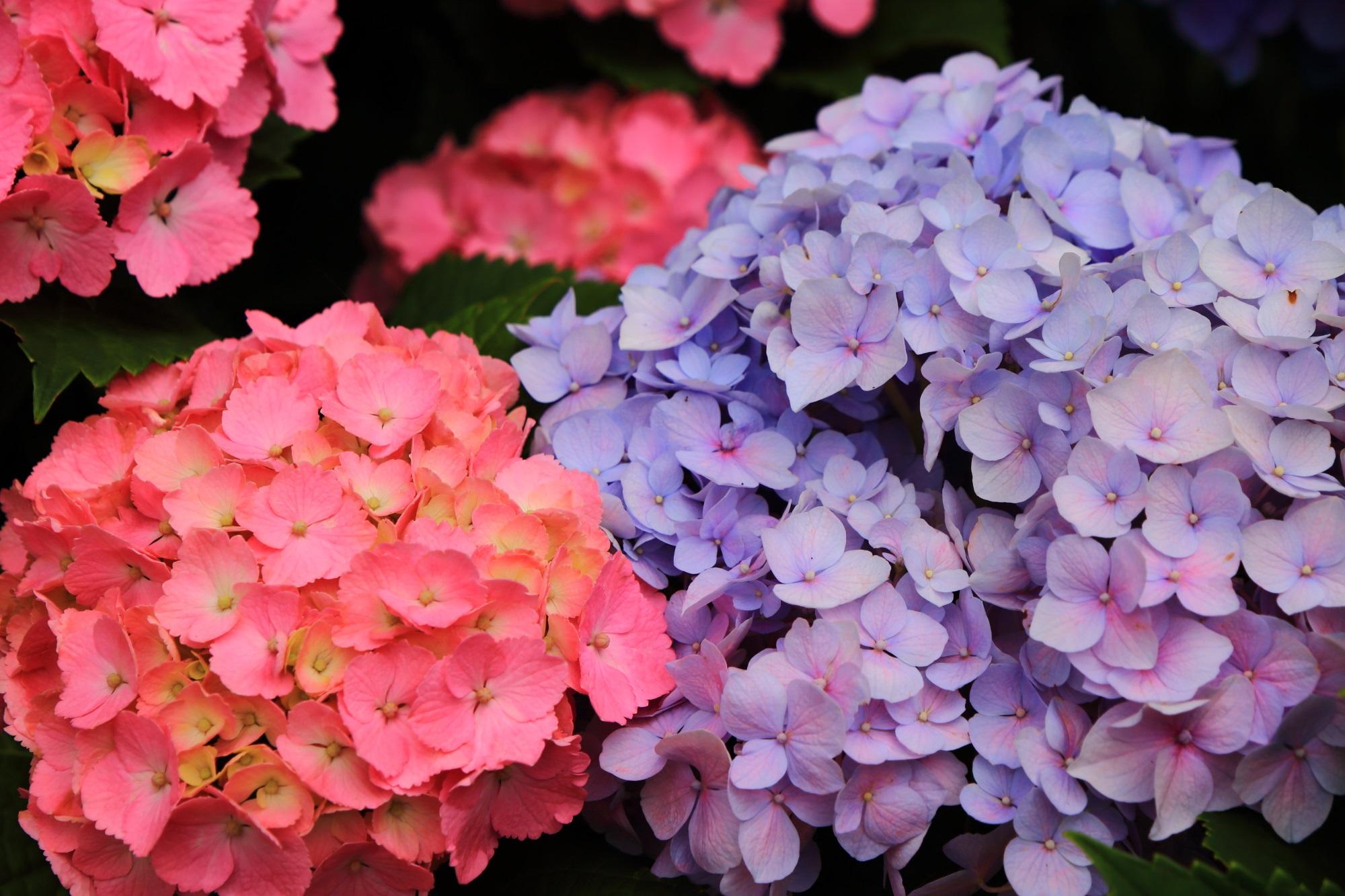 薄い紫のアジサイと鮮やかなピンクのアジサイの綺麗なコントラスト