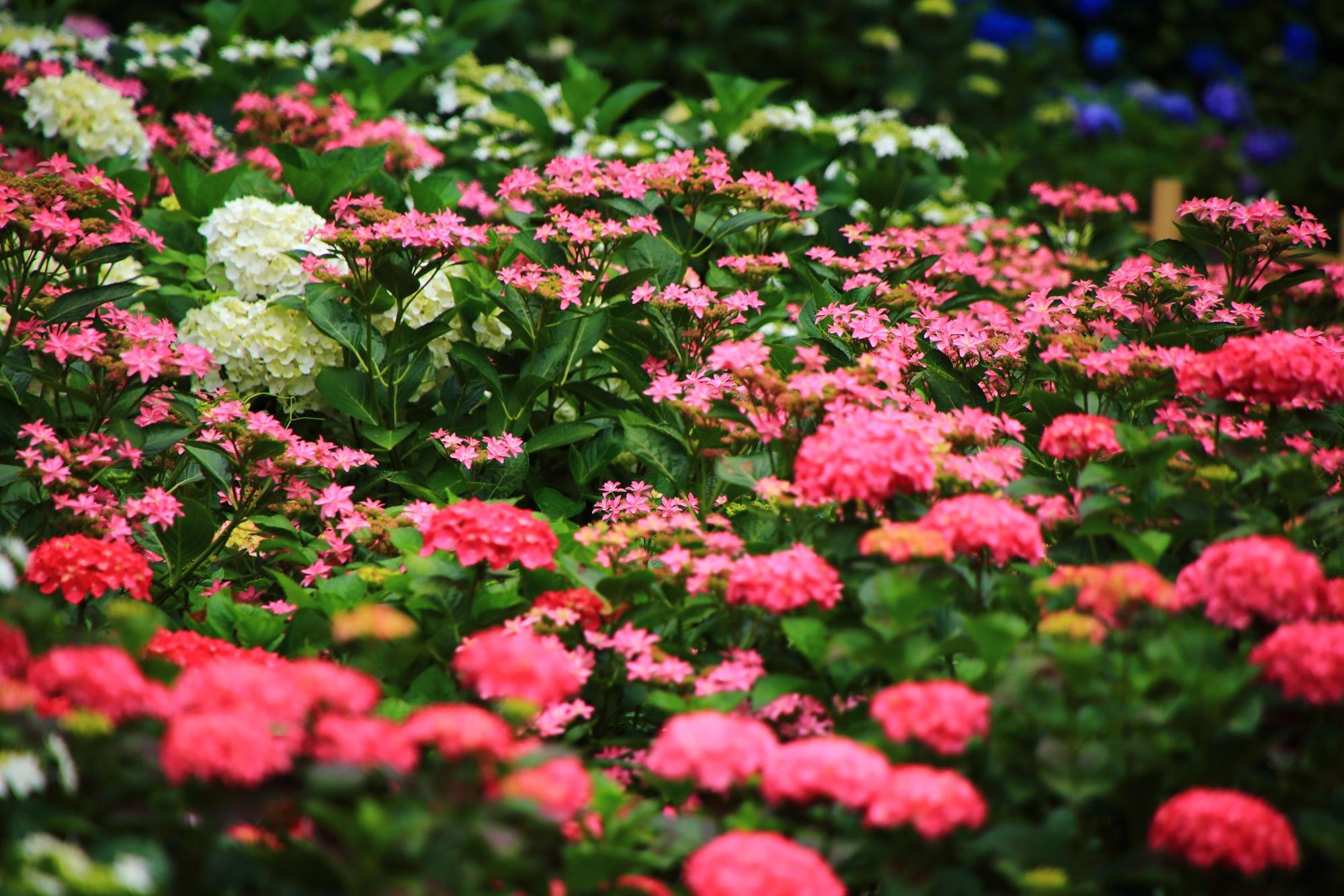 種多様な紫陽花で輝くような三室戸寺のあじさい園