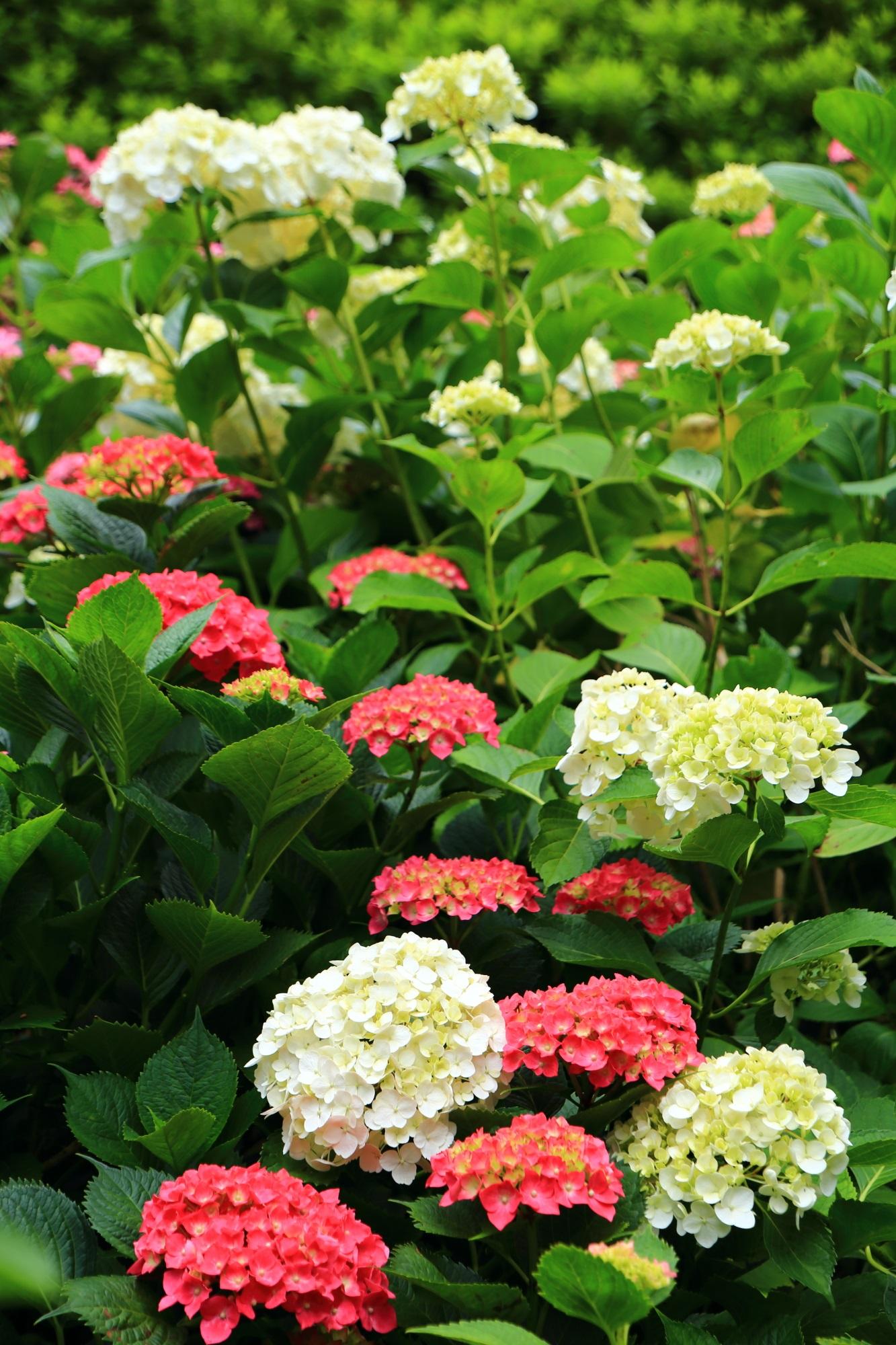 三室戸寺の素晴らしすぎる紫陽花と初夏の彩り