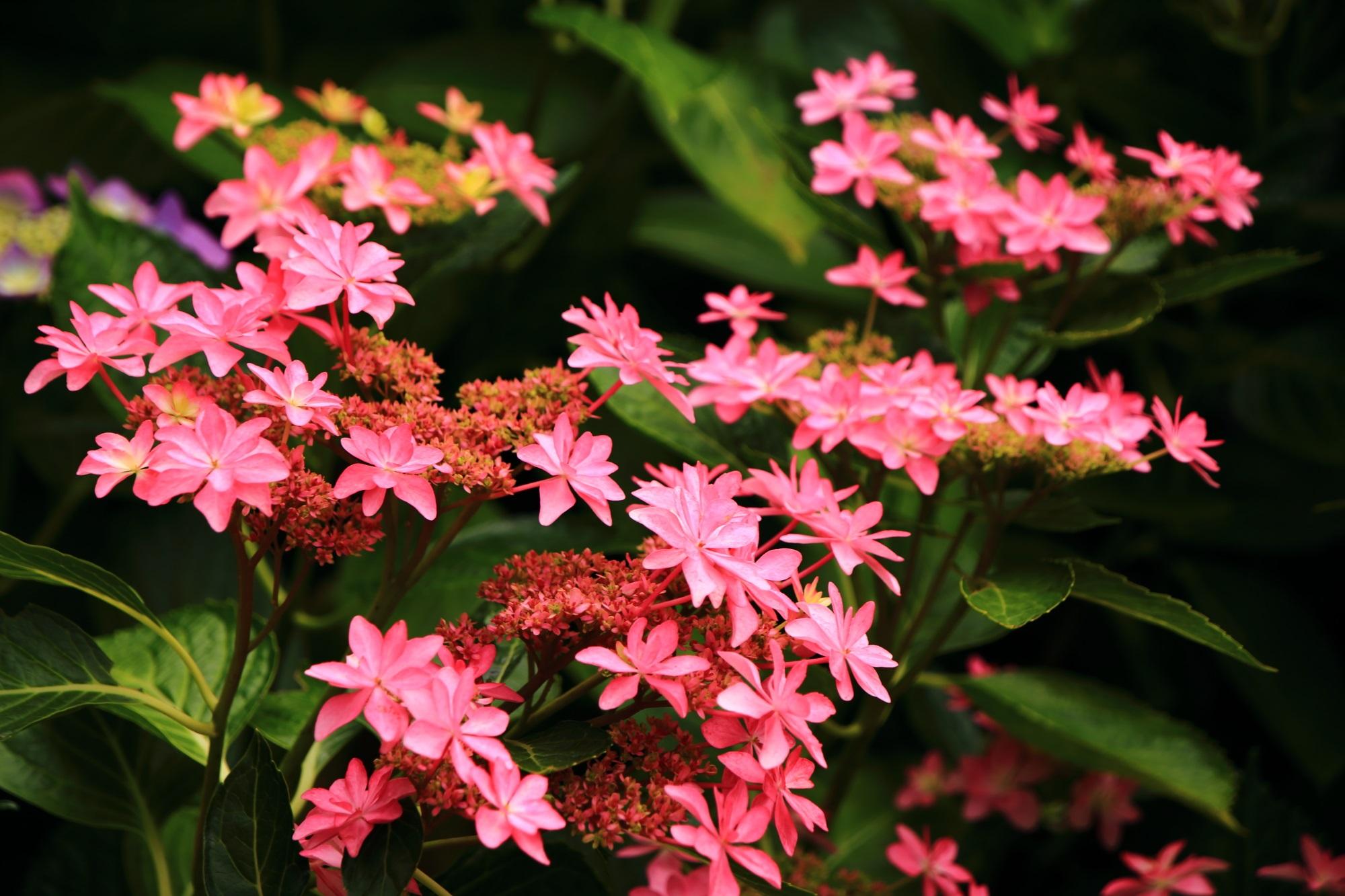 初夏の三室戸寺を上品に華やぐ星紫陽花