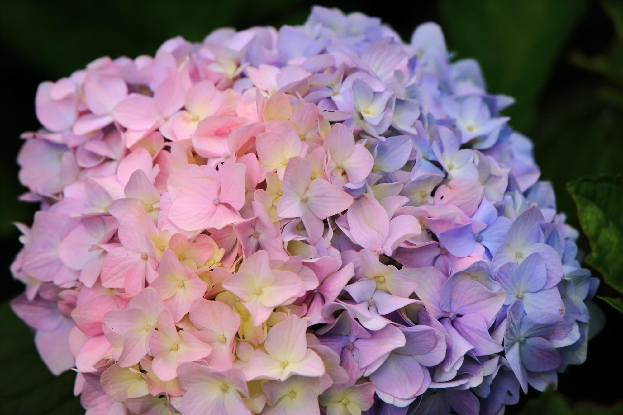 三室戸寺のほのかなピンクと水色の美しすぎる紫陽花