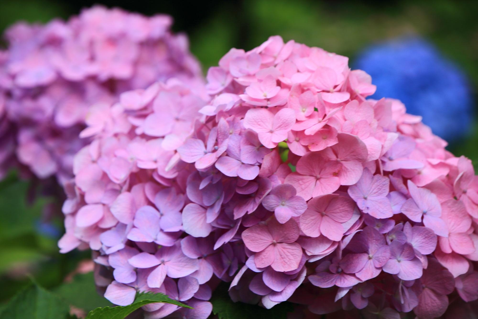 ピンクや薄紫の花びらが重なり合って咲くアジサイ