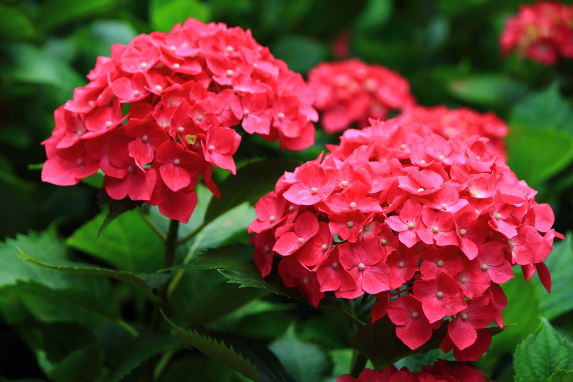 三室戸寺のビビッドな濃い色合いの赤系の紫陽花